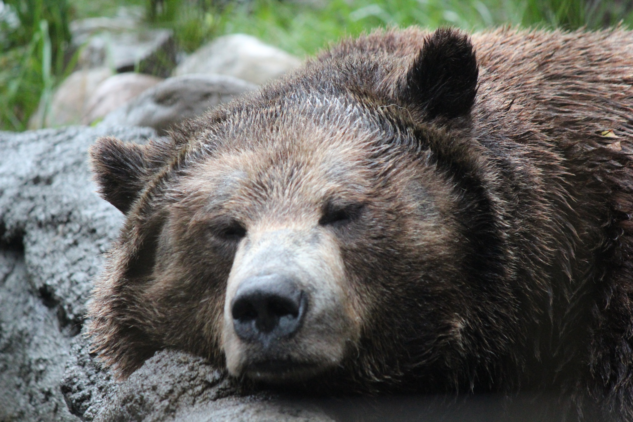 Snoozing Grizzly by danlandry69