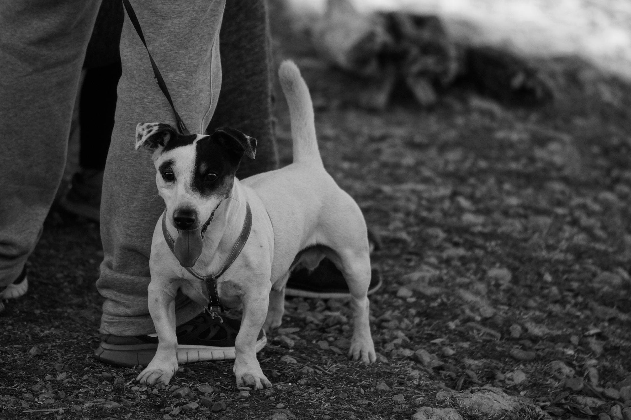Happy dog out for a walk by erol.antz