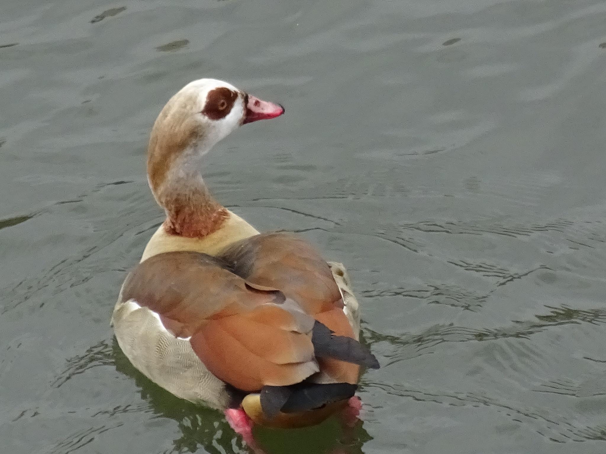 Duck by erol.antz