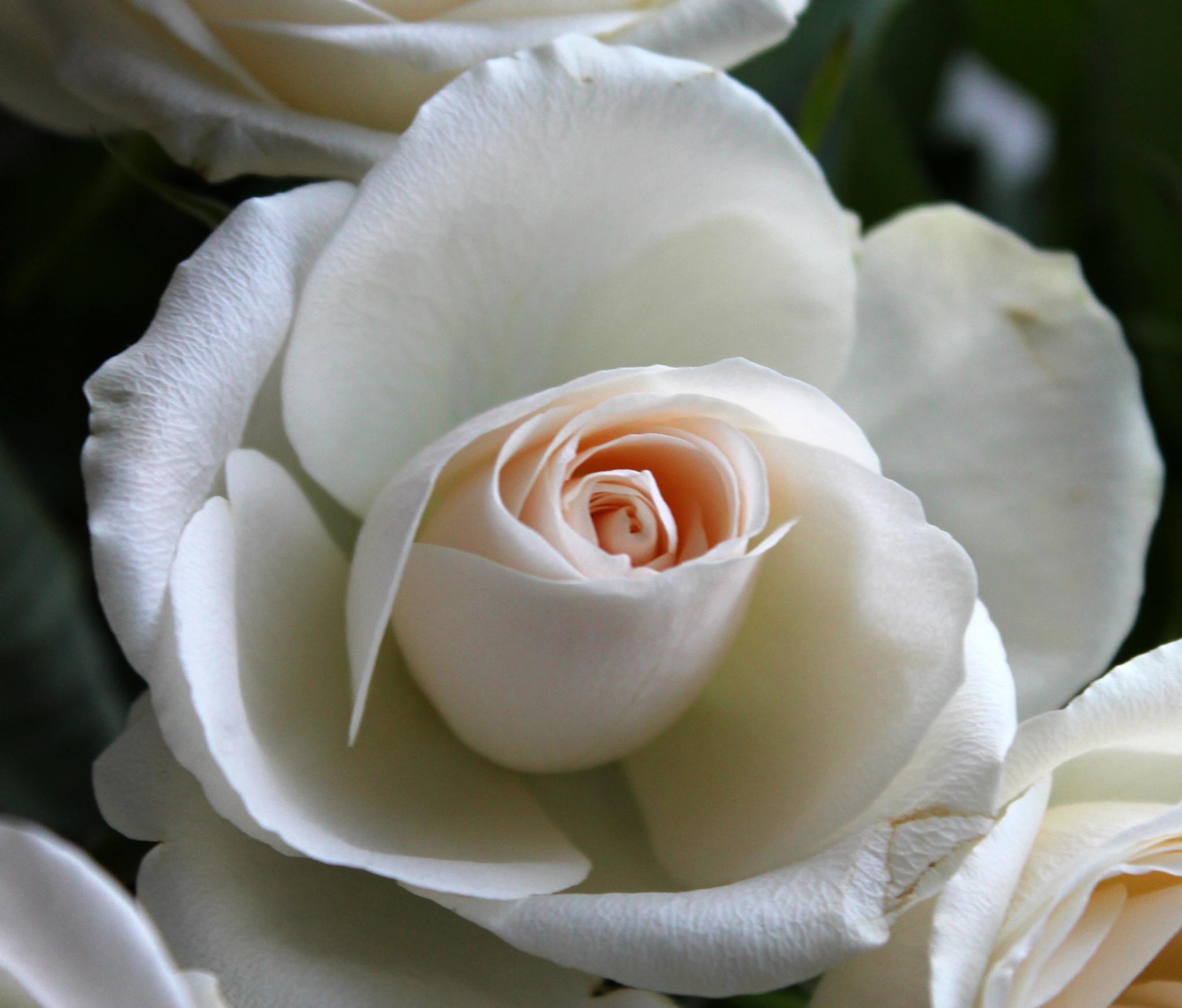 Rose by Ingrid Juul