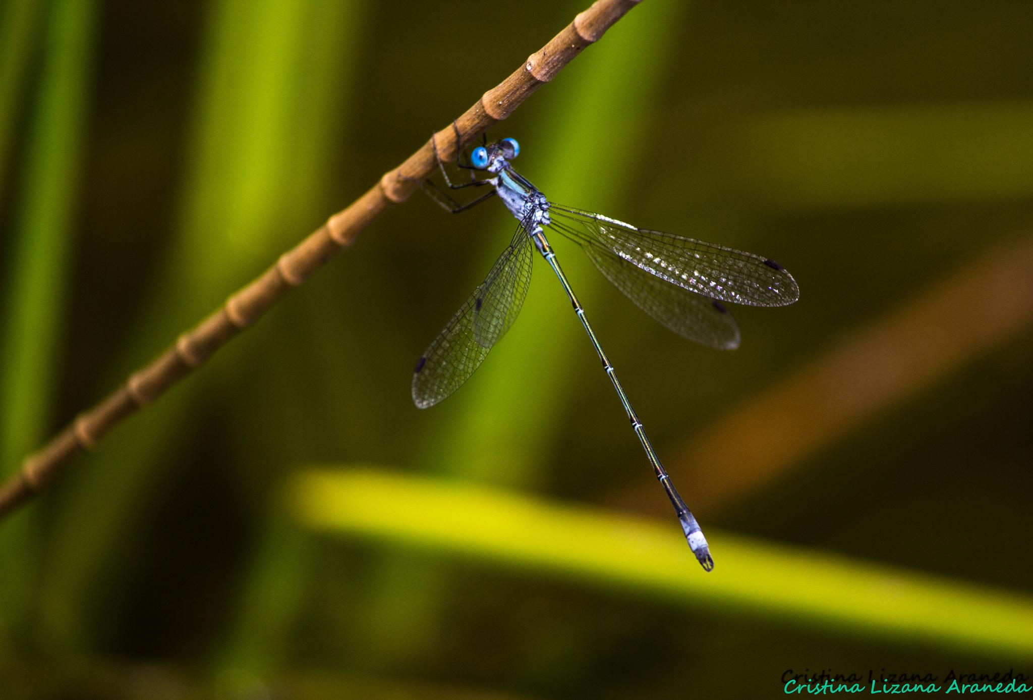 Blue dragonfly by Cristina Lizana