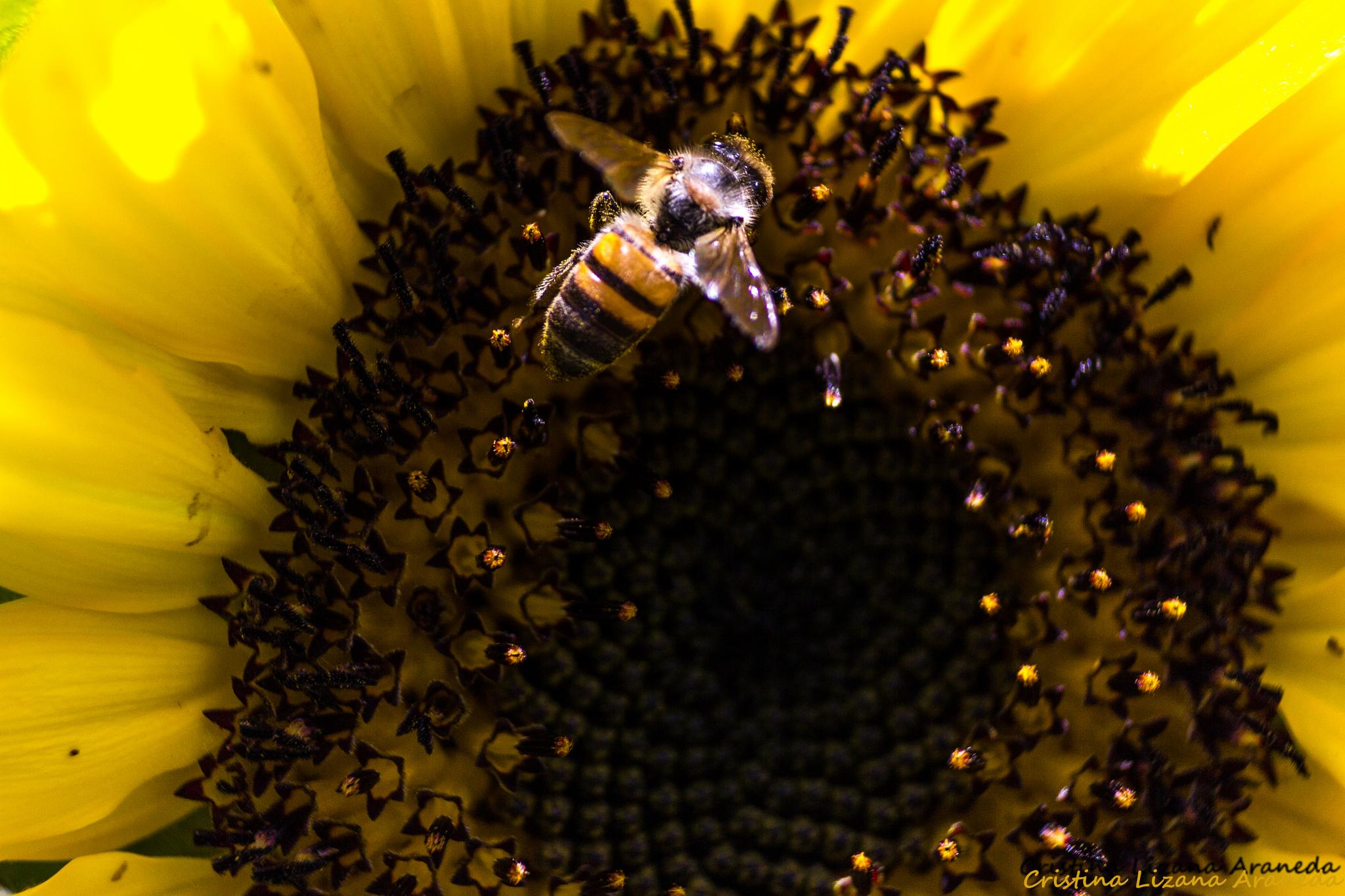 The bee and the flower by Cristina Lizana