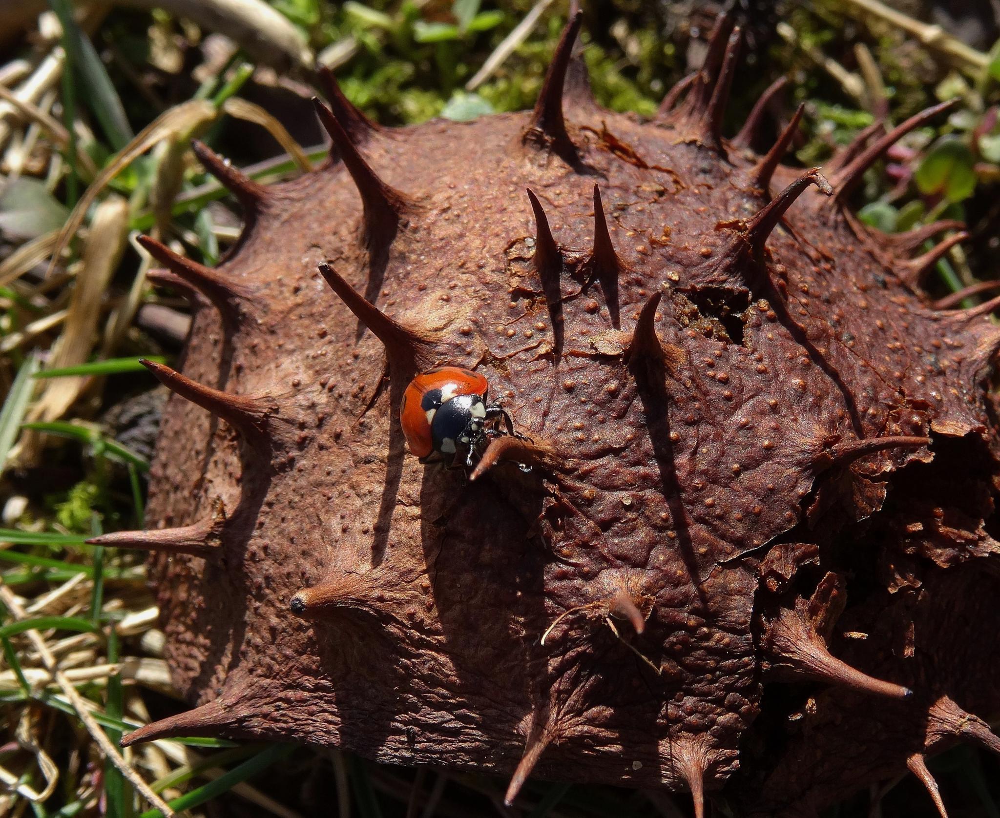 7-spot Ladybird by elizabeth.cooksey.3
