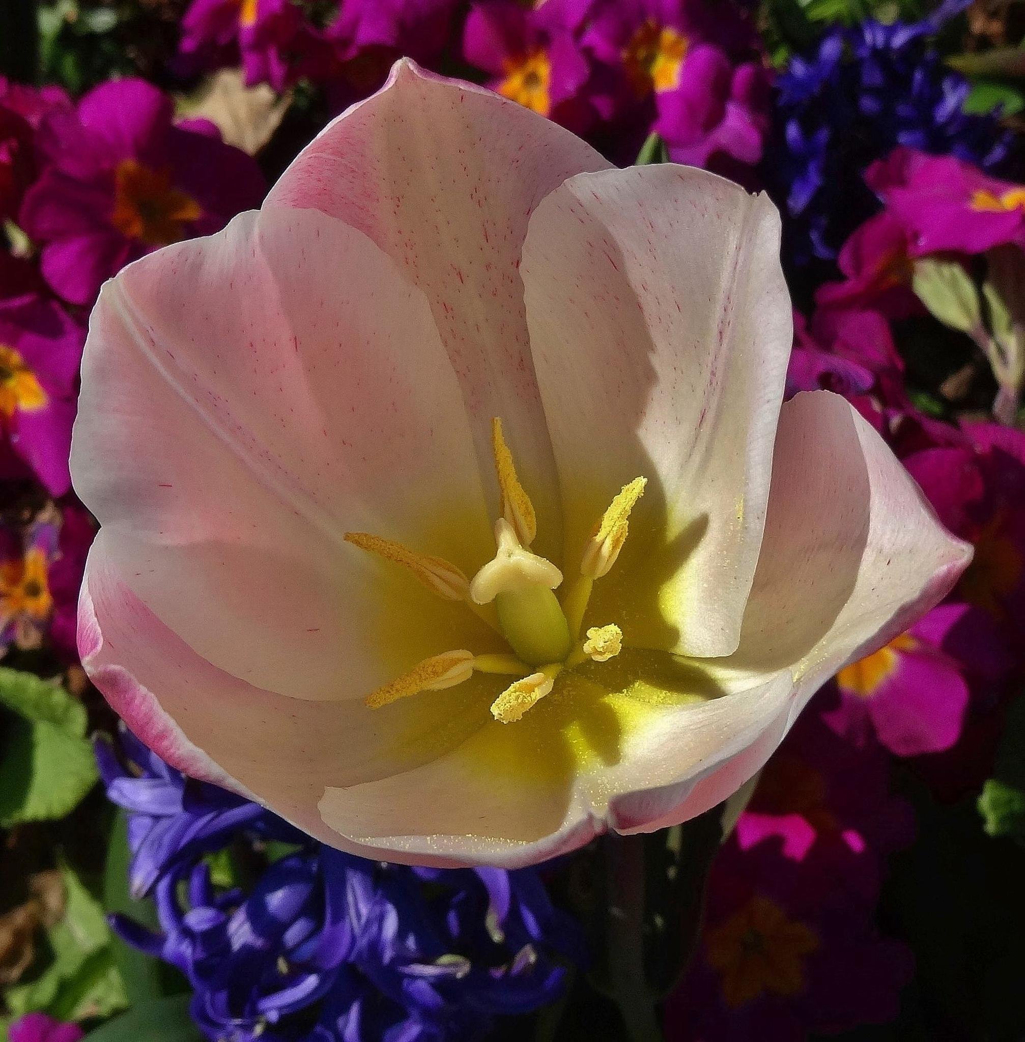 Tulip by elizabeth.cooksey.3