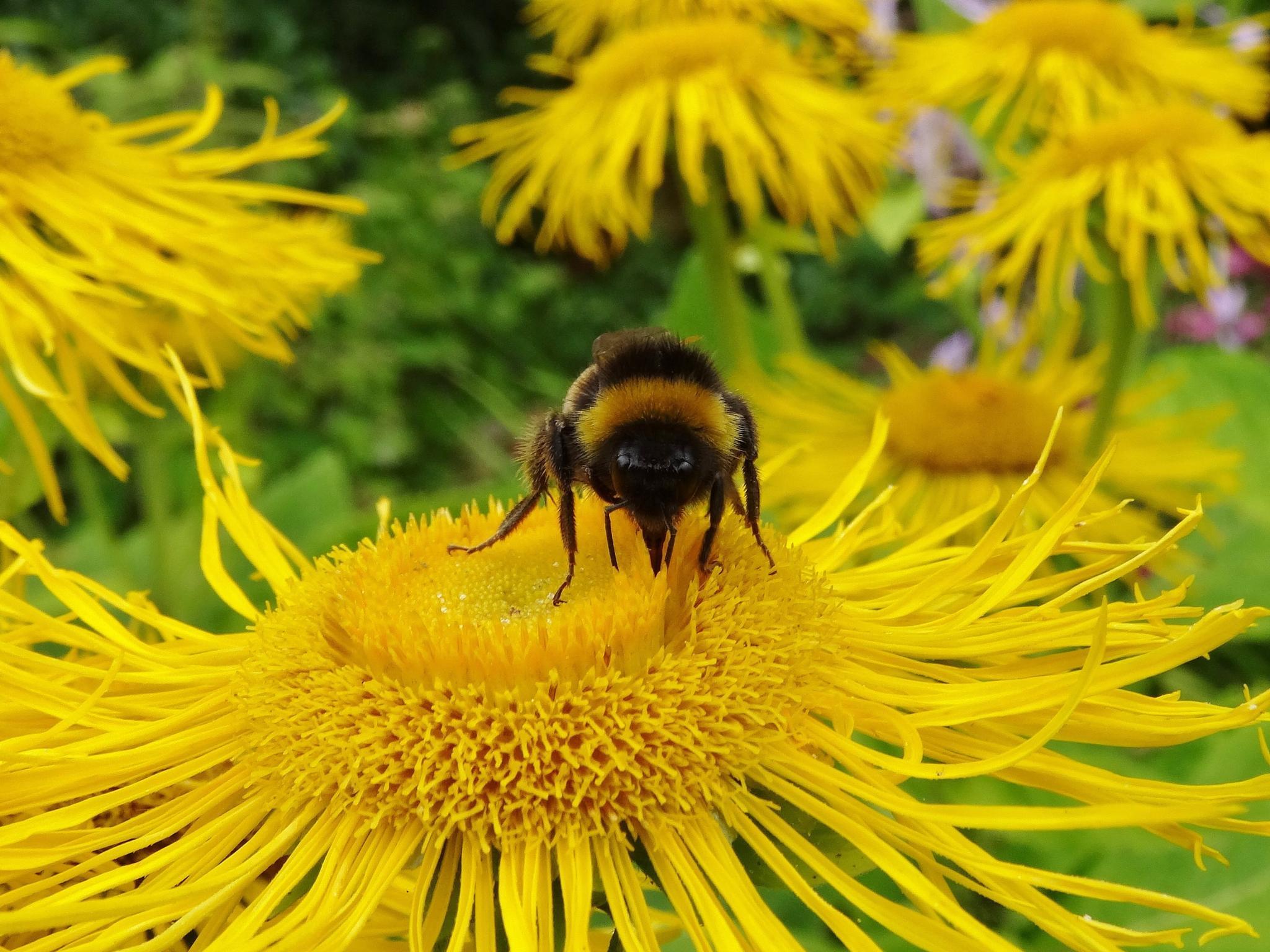 Bumblebee by elizabeth.cooksey.3
