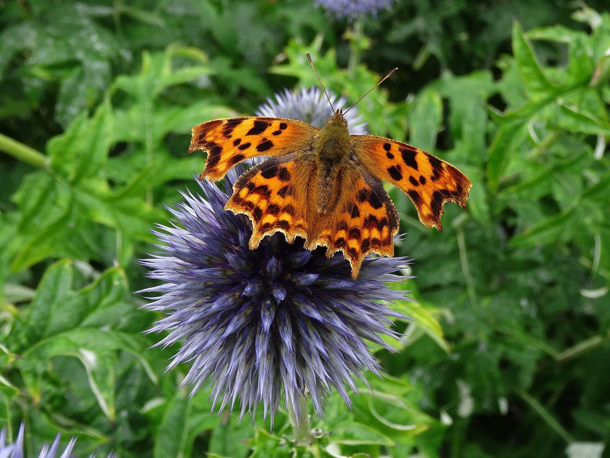 Comma butterfly by elizabeth.cooksey.3