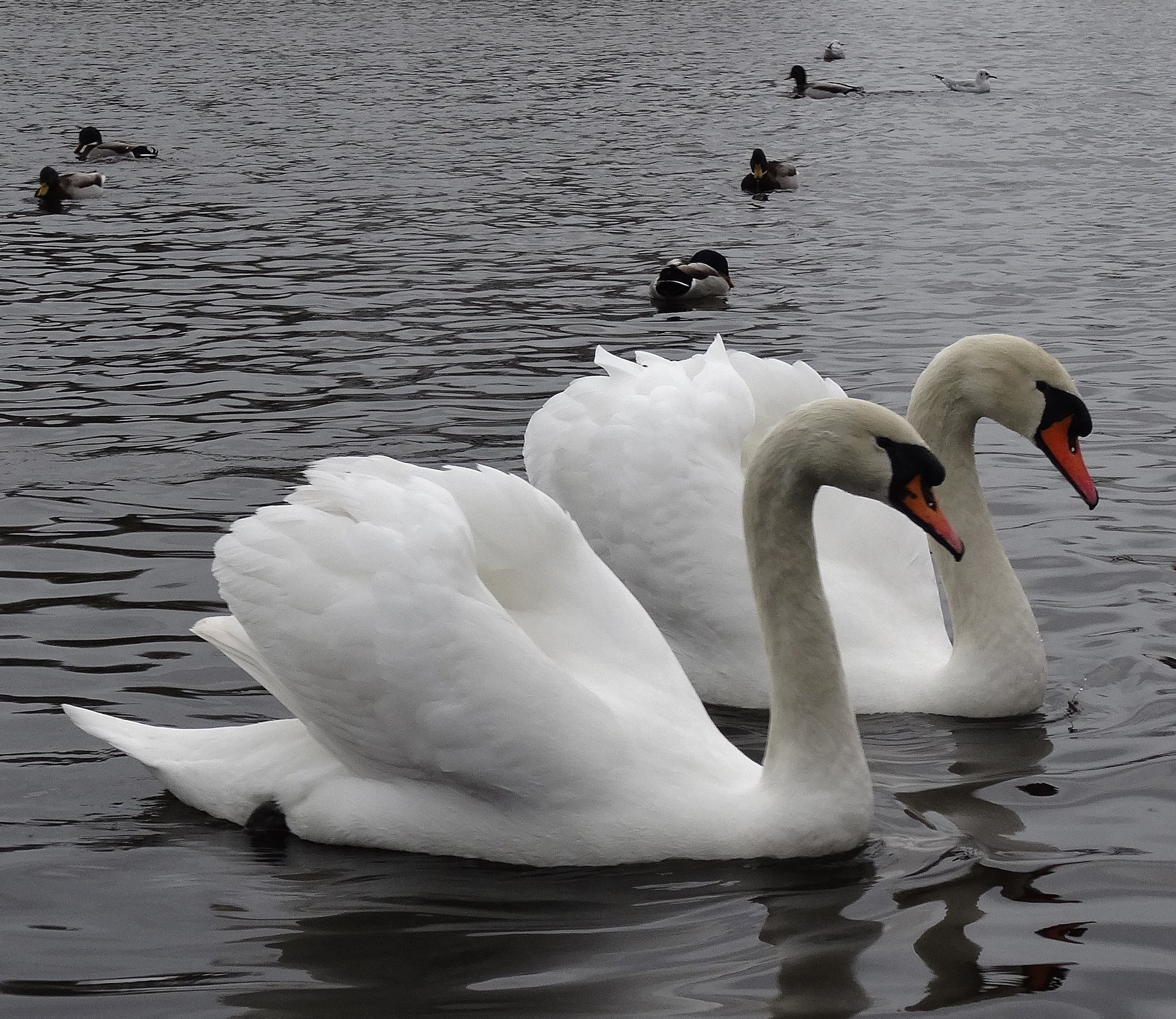 Mute Swans by elizabeth.cooksey.3