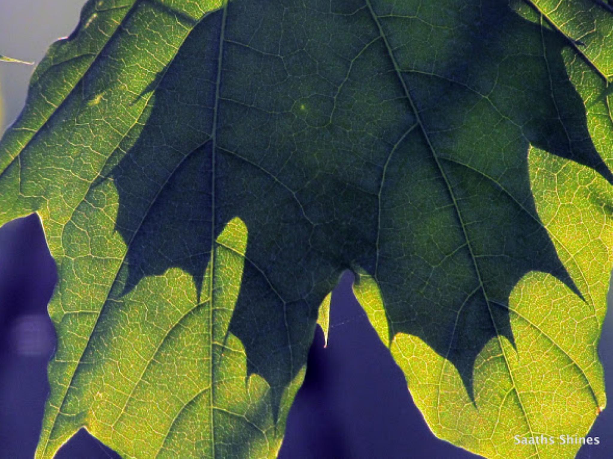 Leaf on leaf. by jaisikand