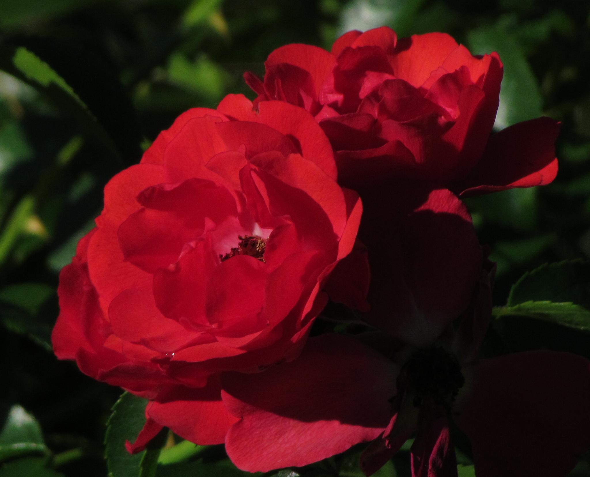 Red Roses by jaisikand
