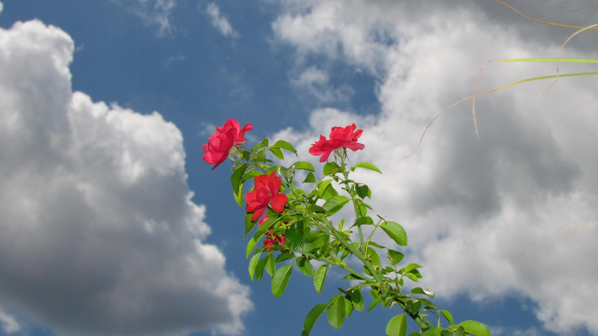 Rose bush-3 by jaisikand