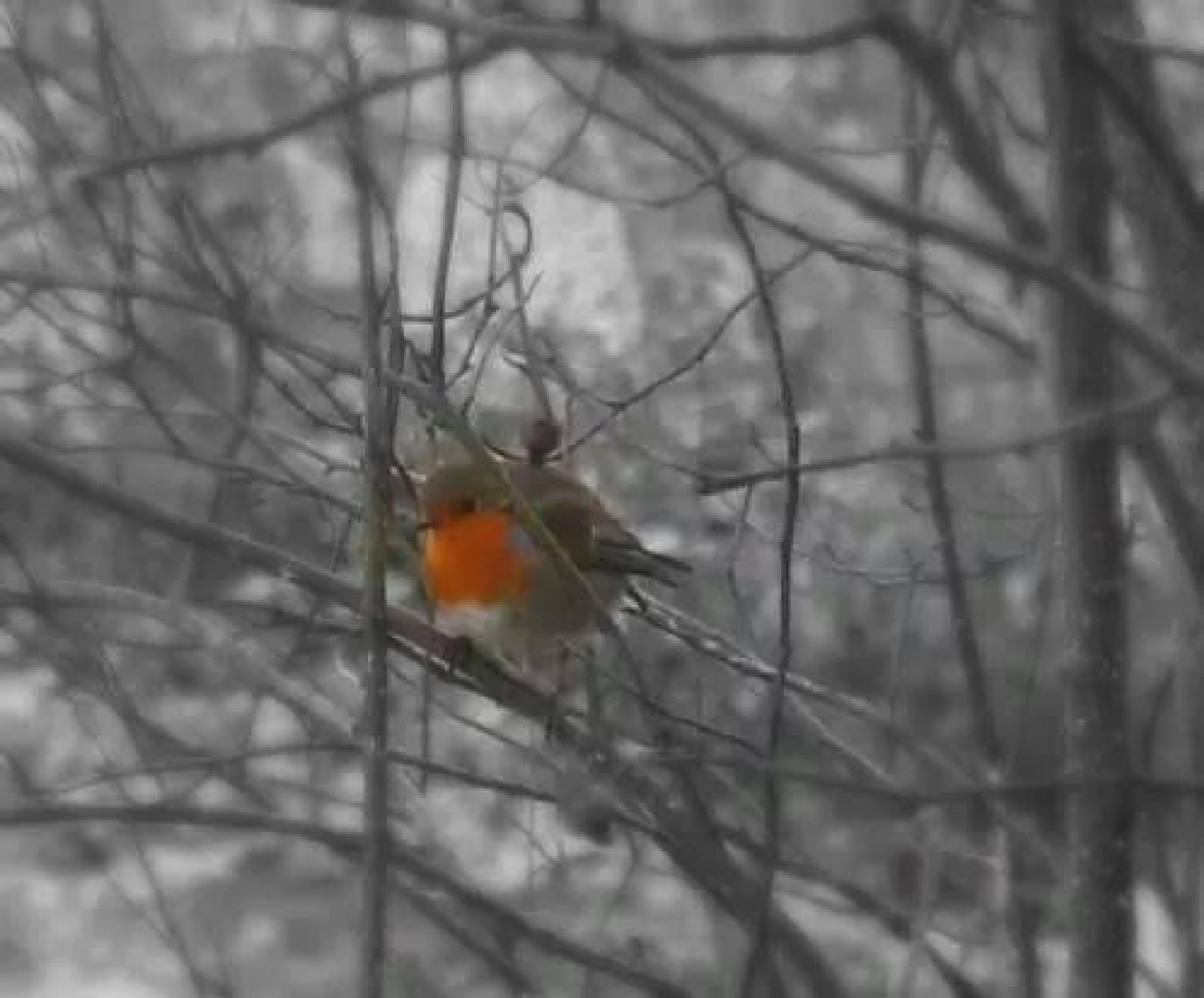 robin by ged.hepburn