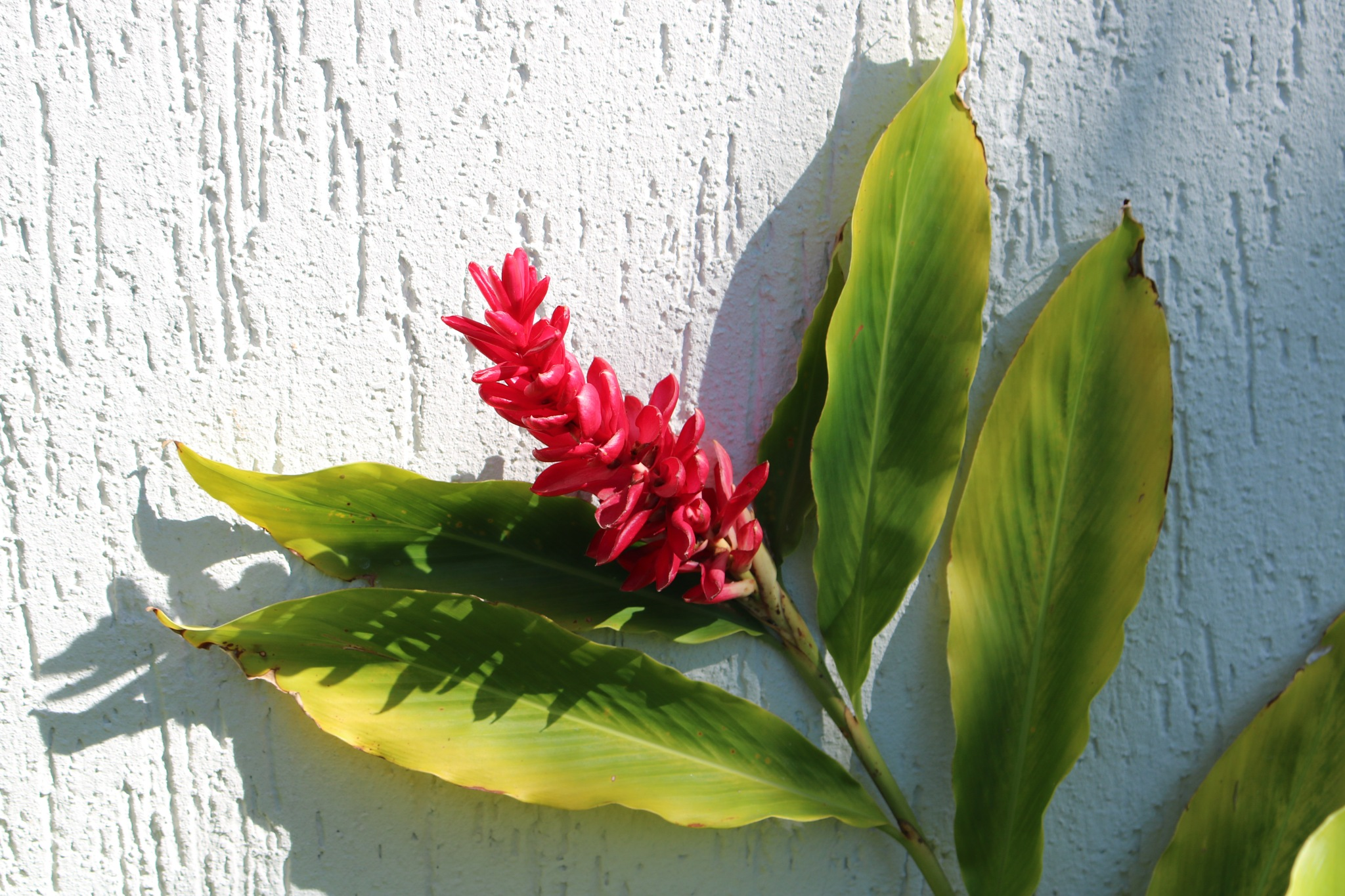 Flower of Red Ginger Plant by simonp