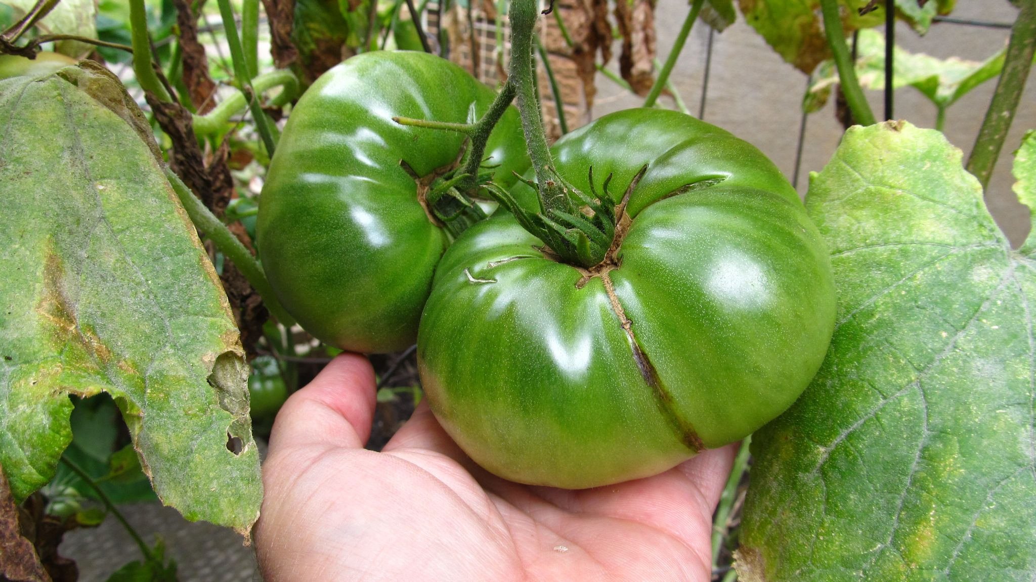 Home Grown Tomatoes by simonp