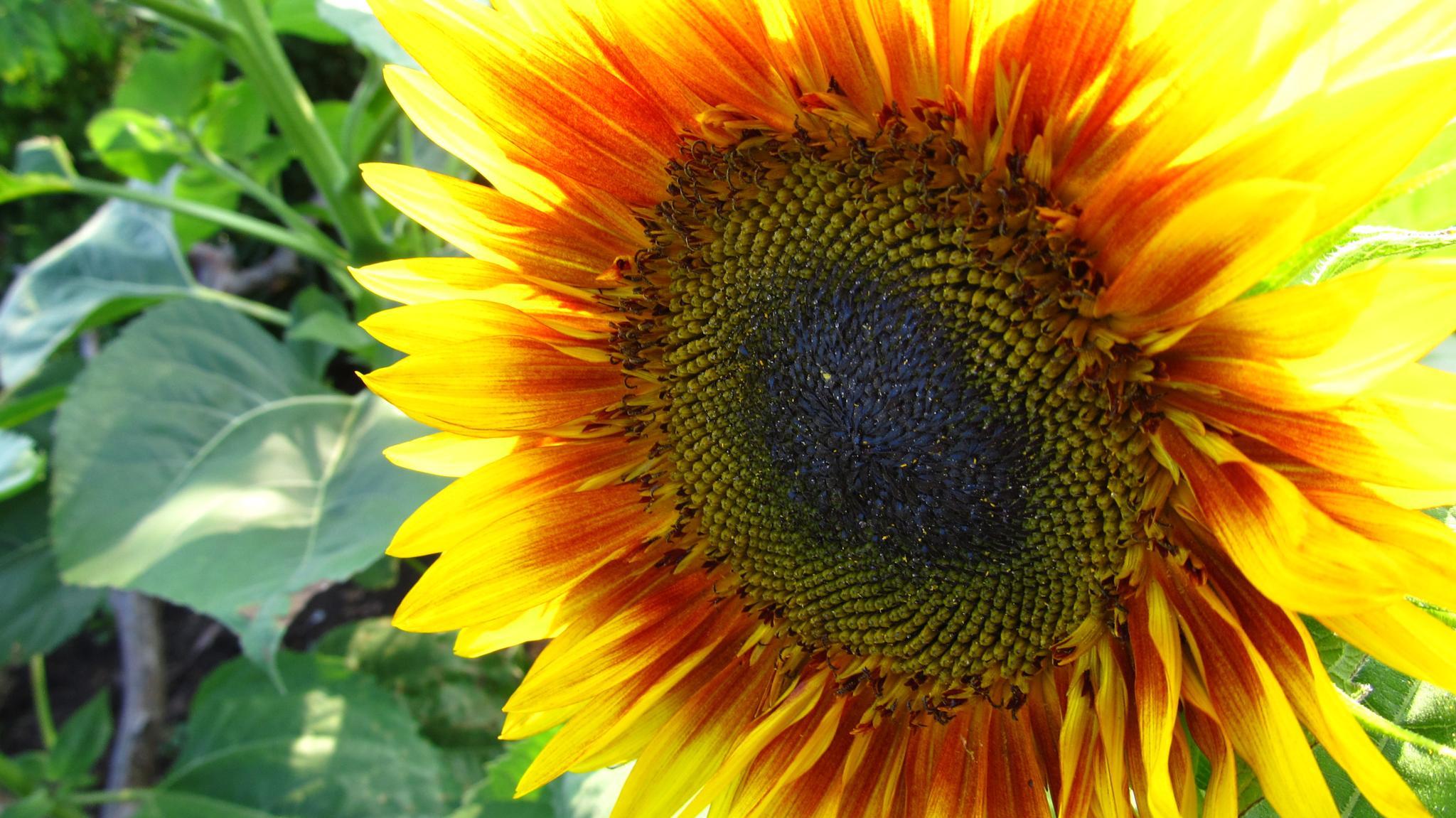 Sunflower by simonp