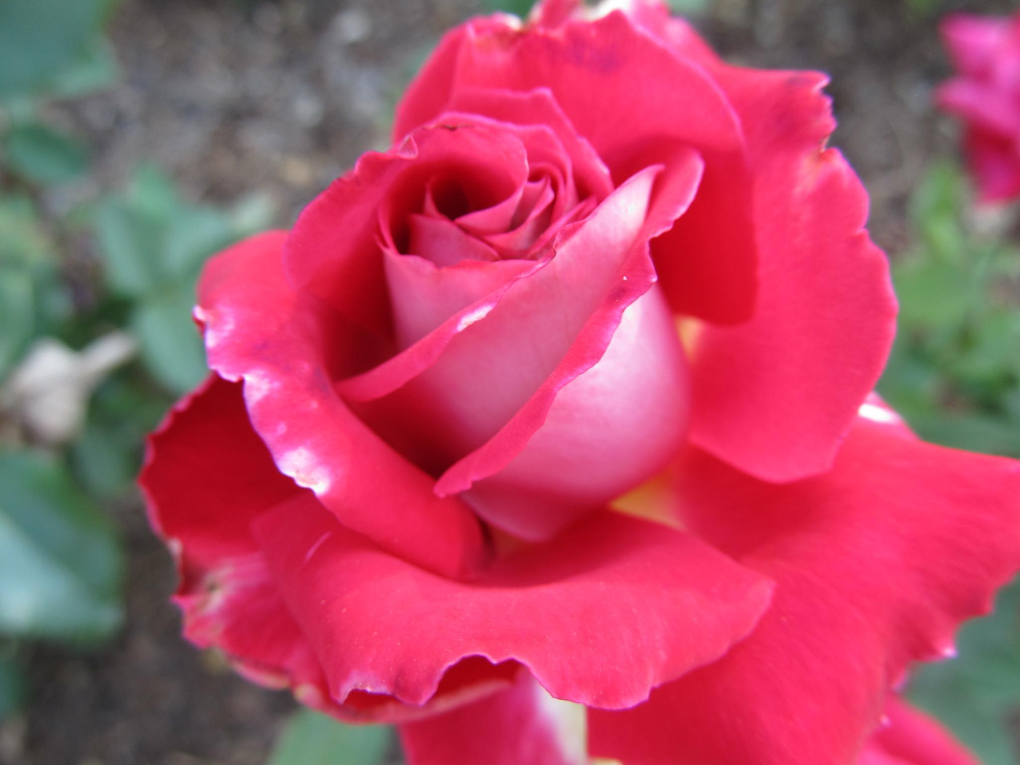 Pink Rose by simonp