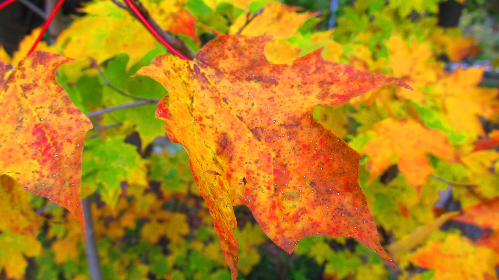 Maple Leaf  by simonp