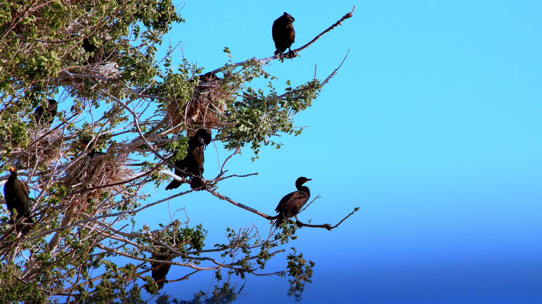 Double-Crested Cormorants on Tree Branches by simonp S&R Photography