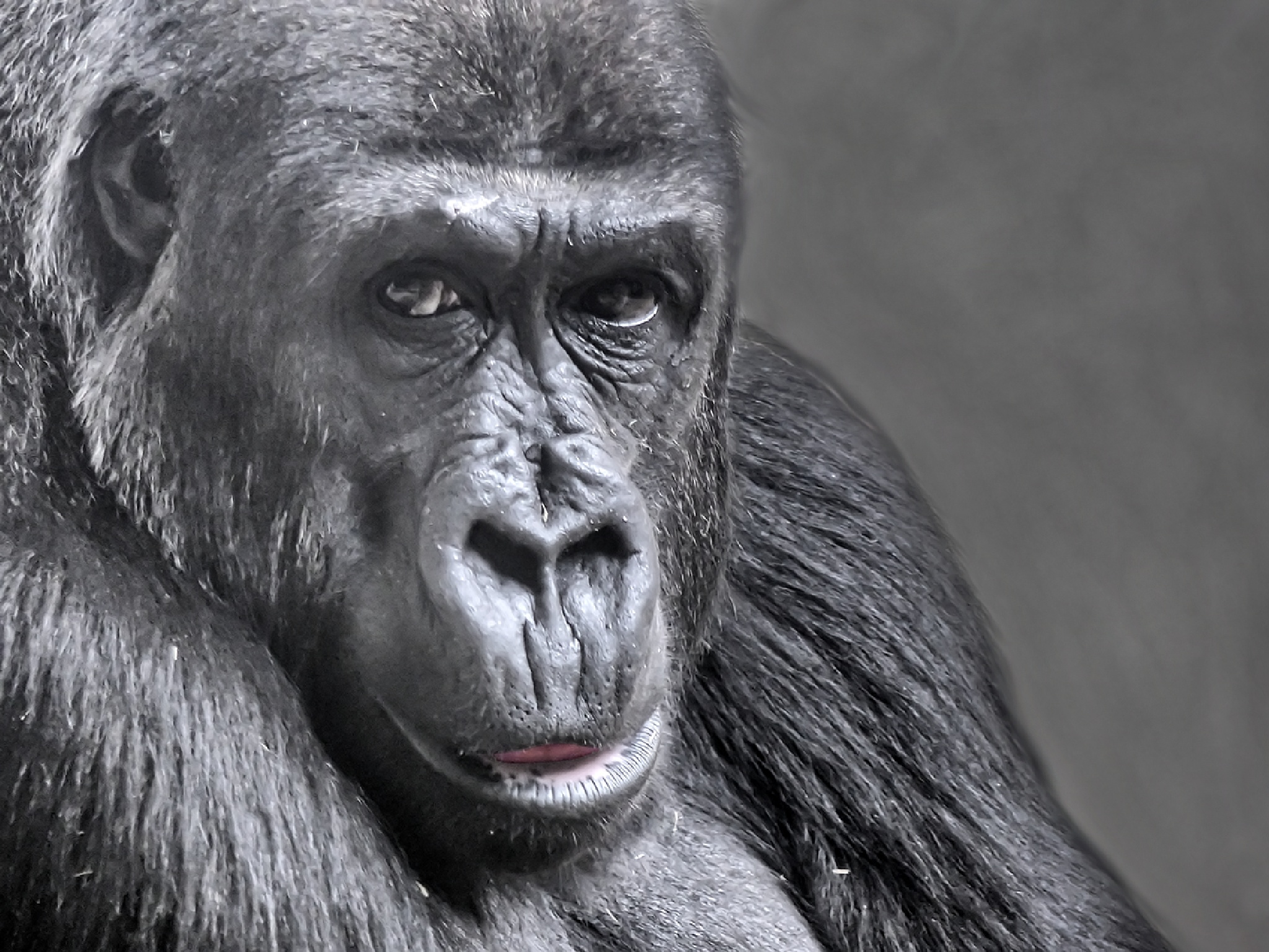 Amsterdam Zoo Gorilla by mgeier