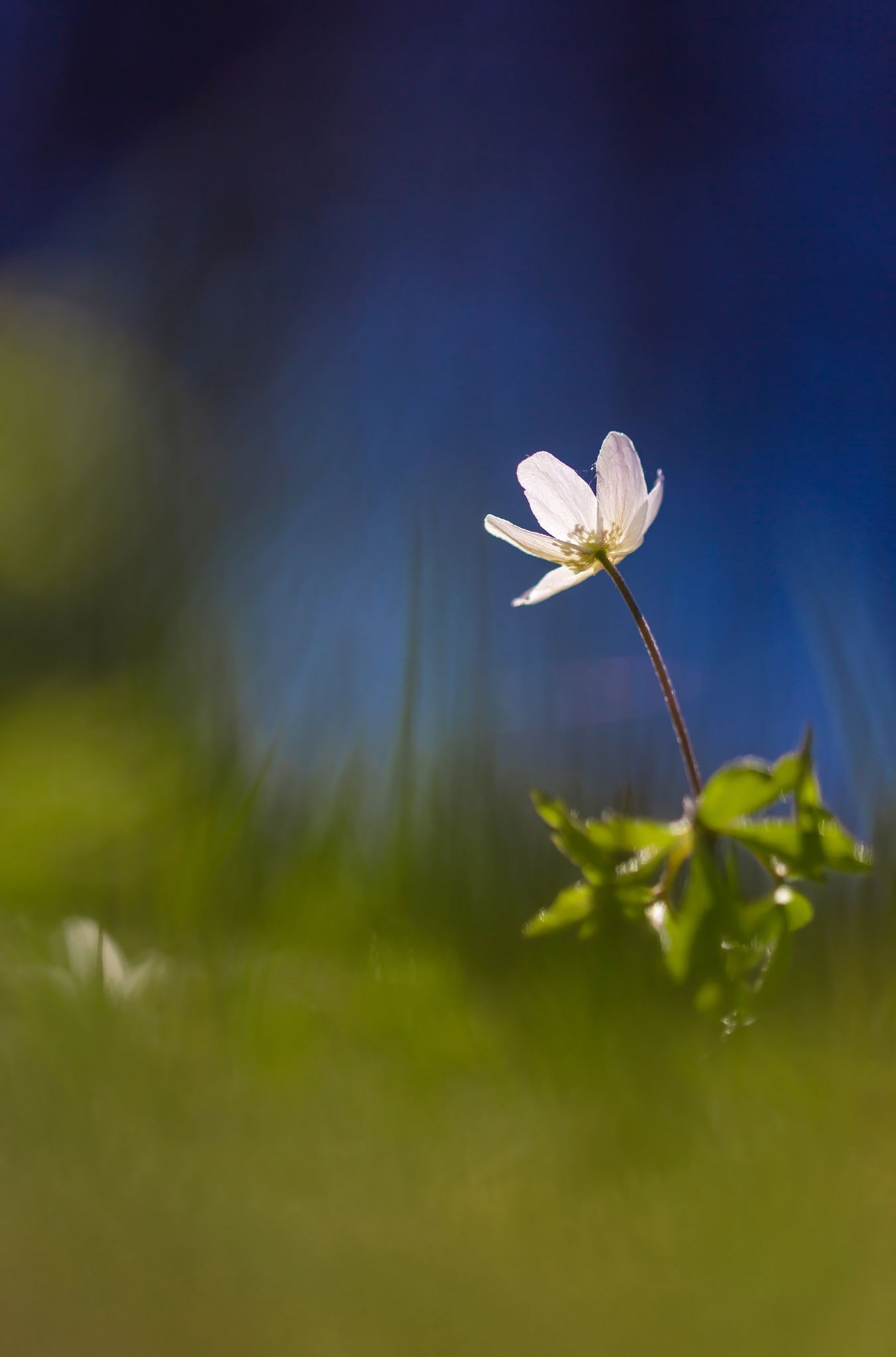 Wood anemone in the right environment by SRFOTO