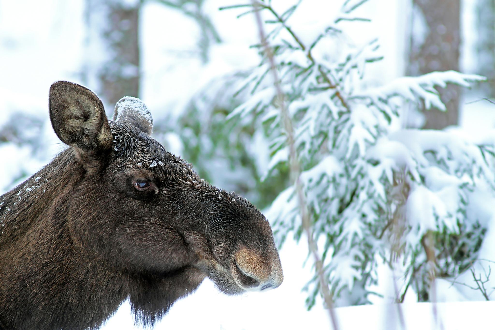 The elk is eating by SRFOTO