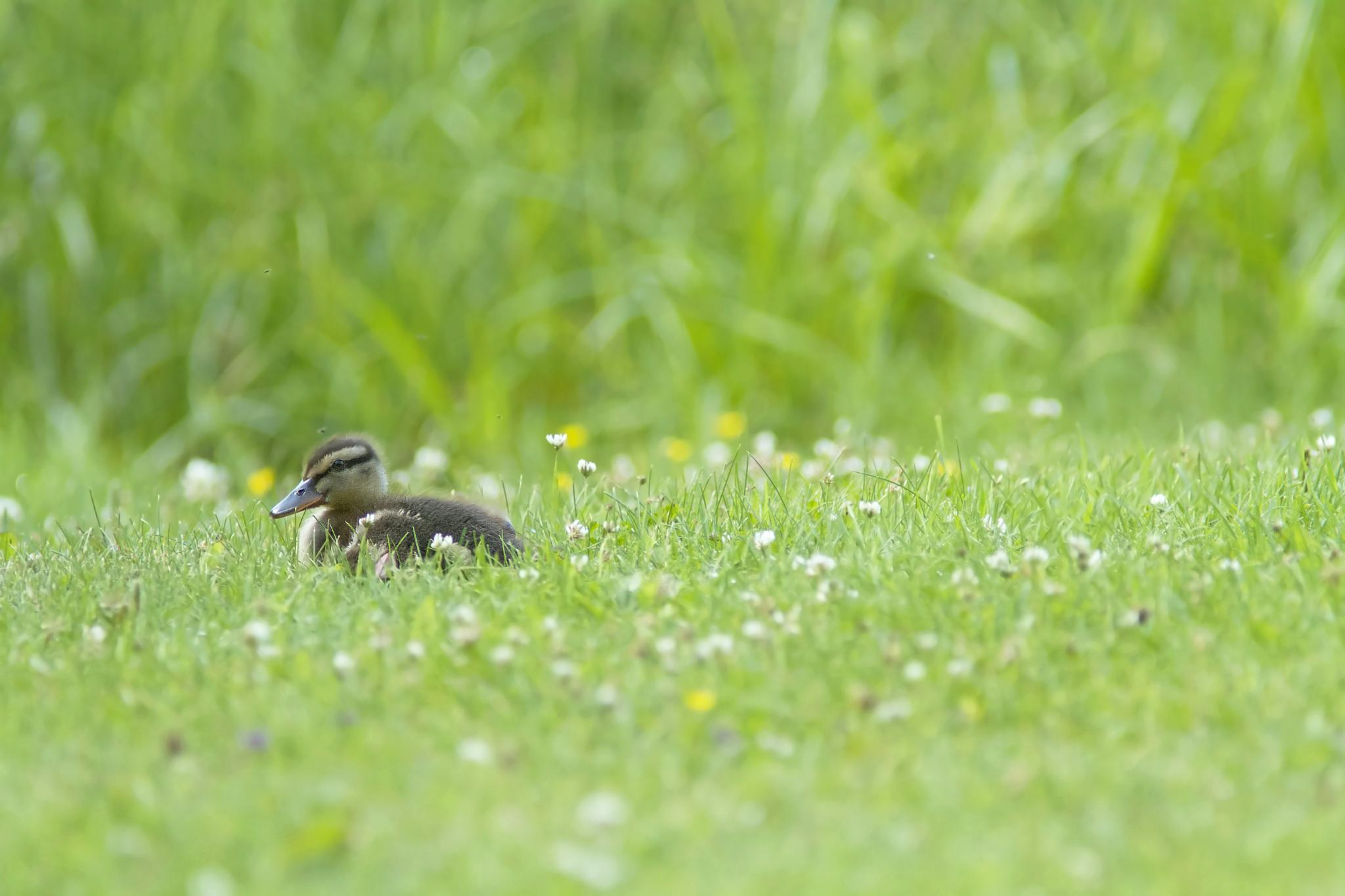 A duckling resting on the grass by SRFOTO