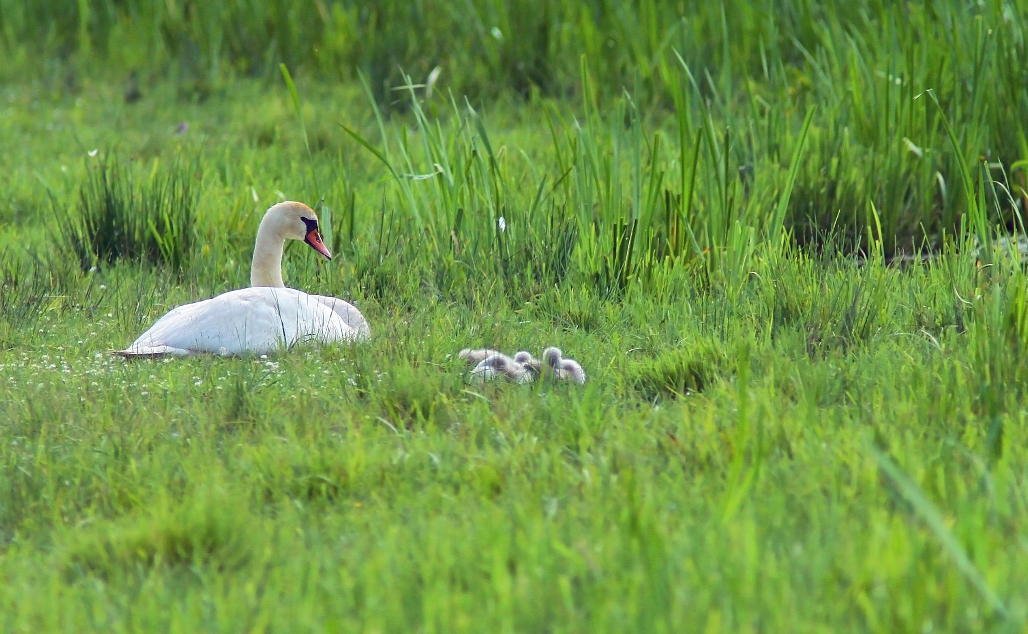 Mother swan with young cygnets by SRFOTO