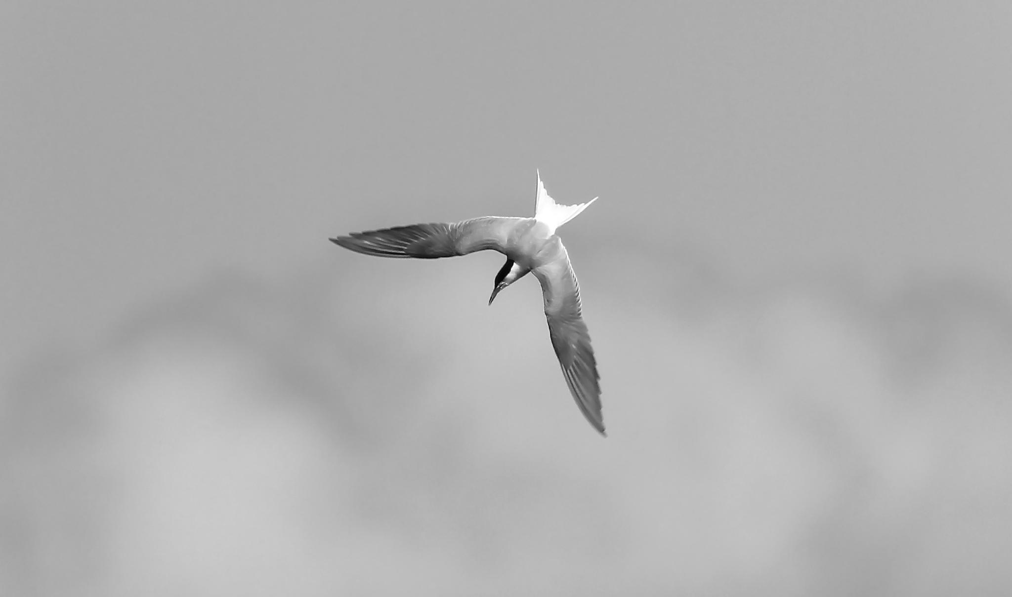 A diving tern by SRFOTO