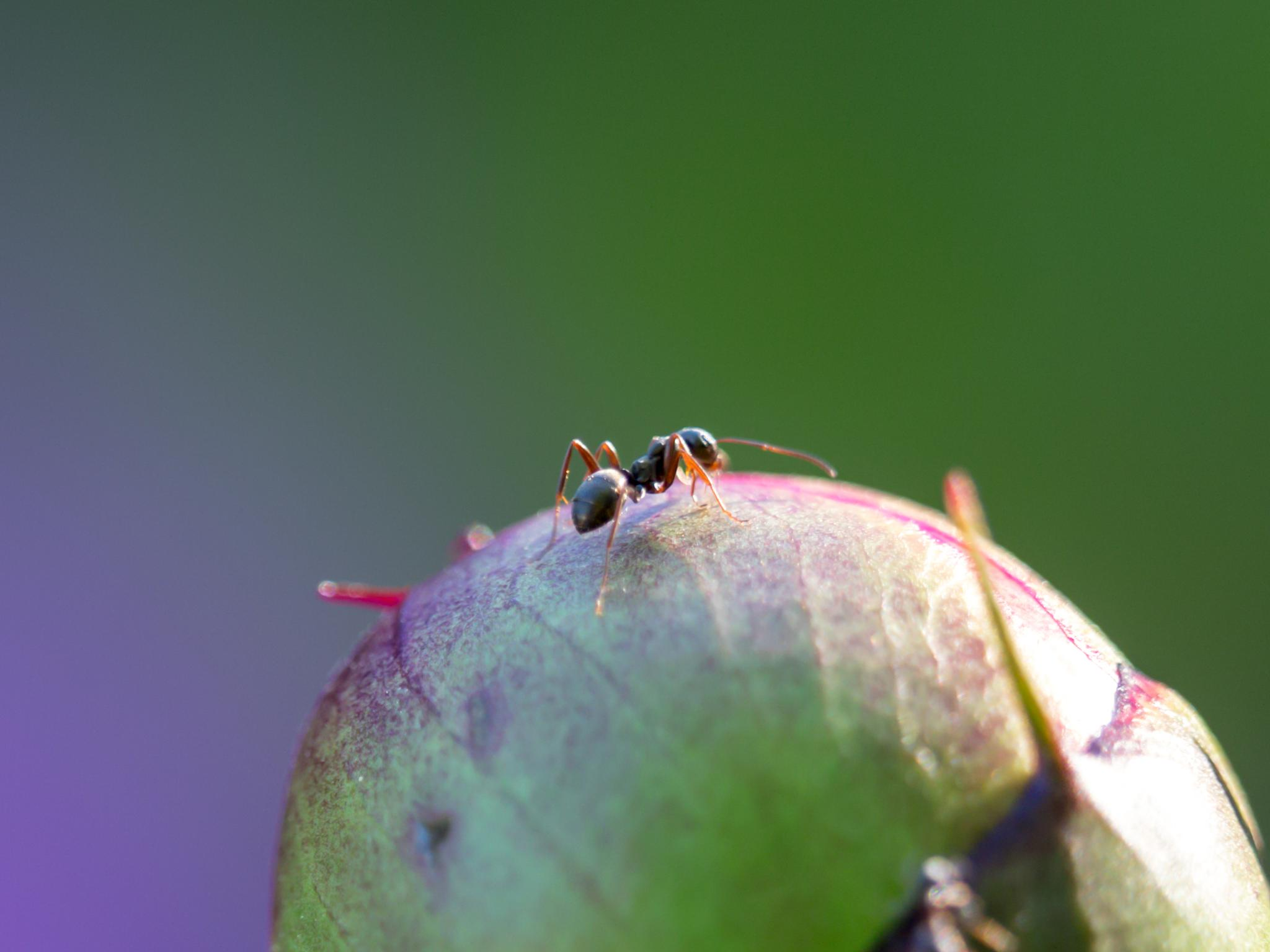 Ant and the Bud by Degerman