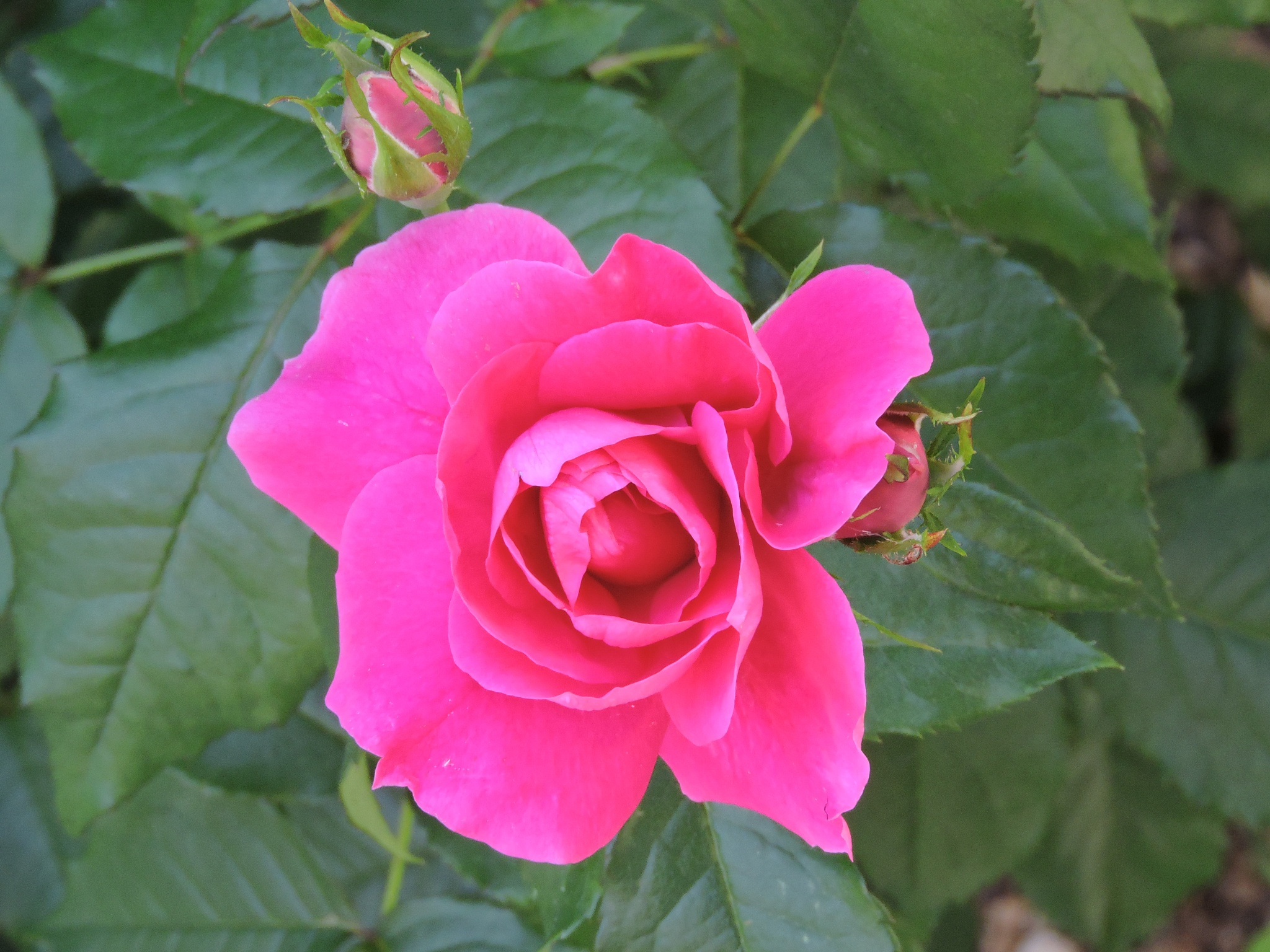 Rose in the Mall Garden by ralph.s.carlson
