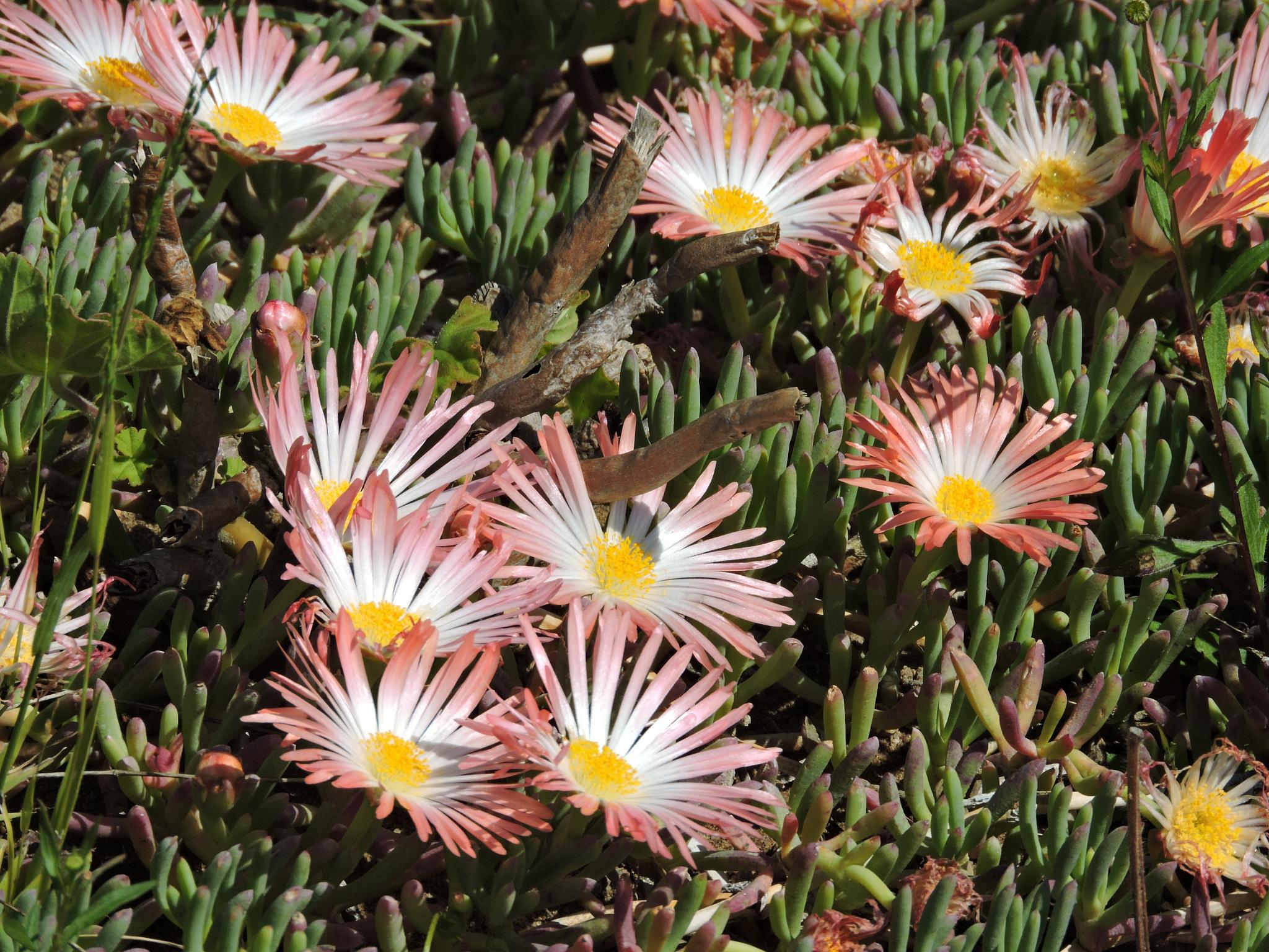 Ice Plant by the Lake by the Sea by ralph.s.carlson