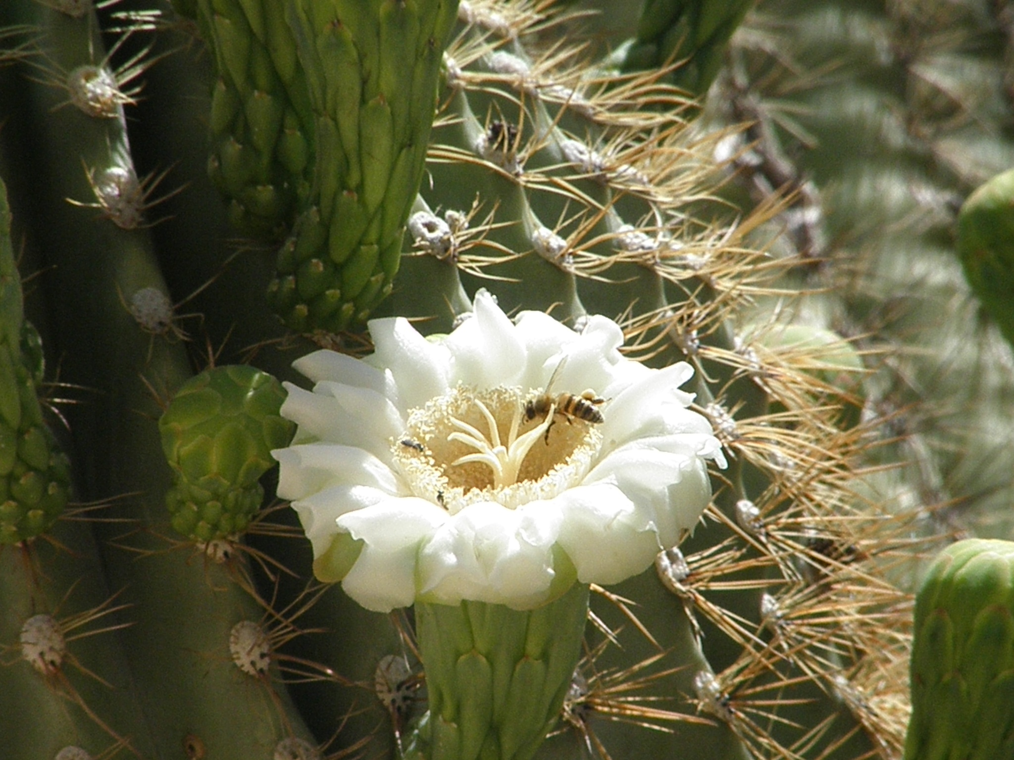Cactus Bloom and Pollen Seekers by ralph.s.carlson
