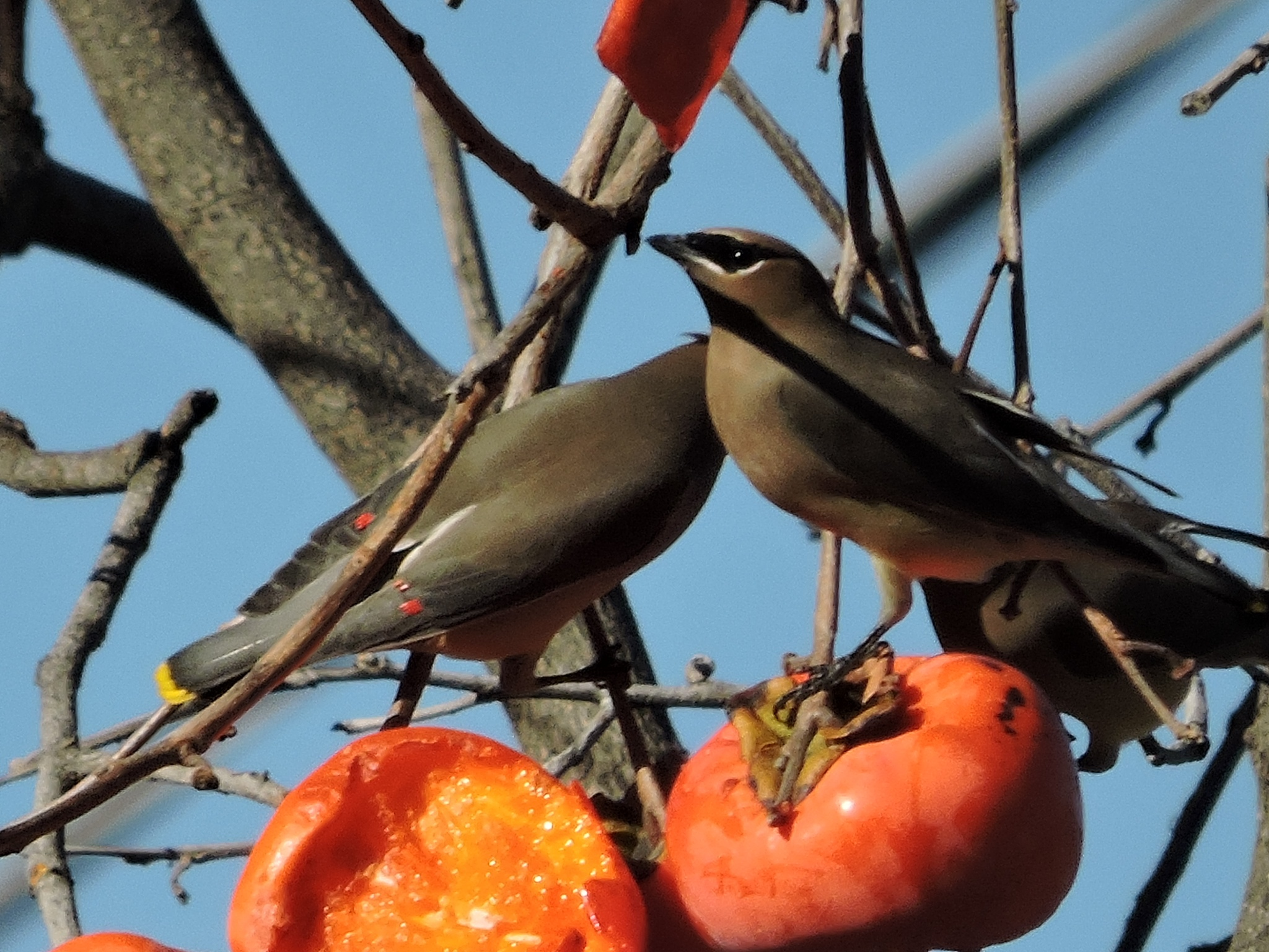 Cedar Waxwings at the Persimmons by ralph.s.carlson