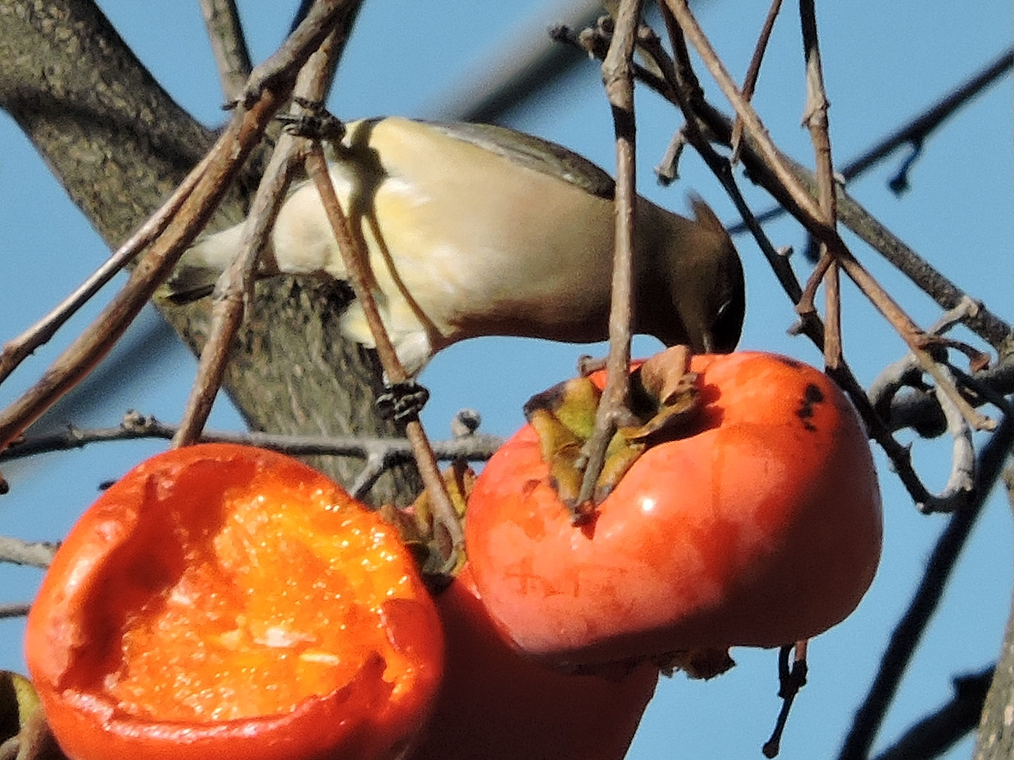 Belly Up to the (Persimmon) Bar, Birds by ralph.s.carlson