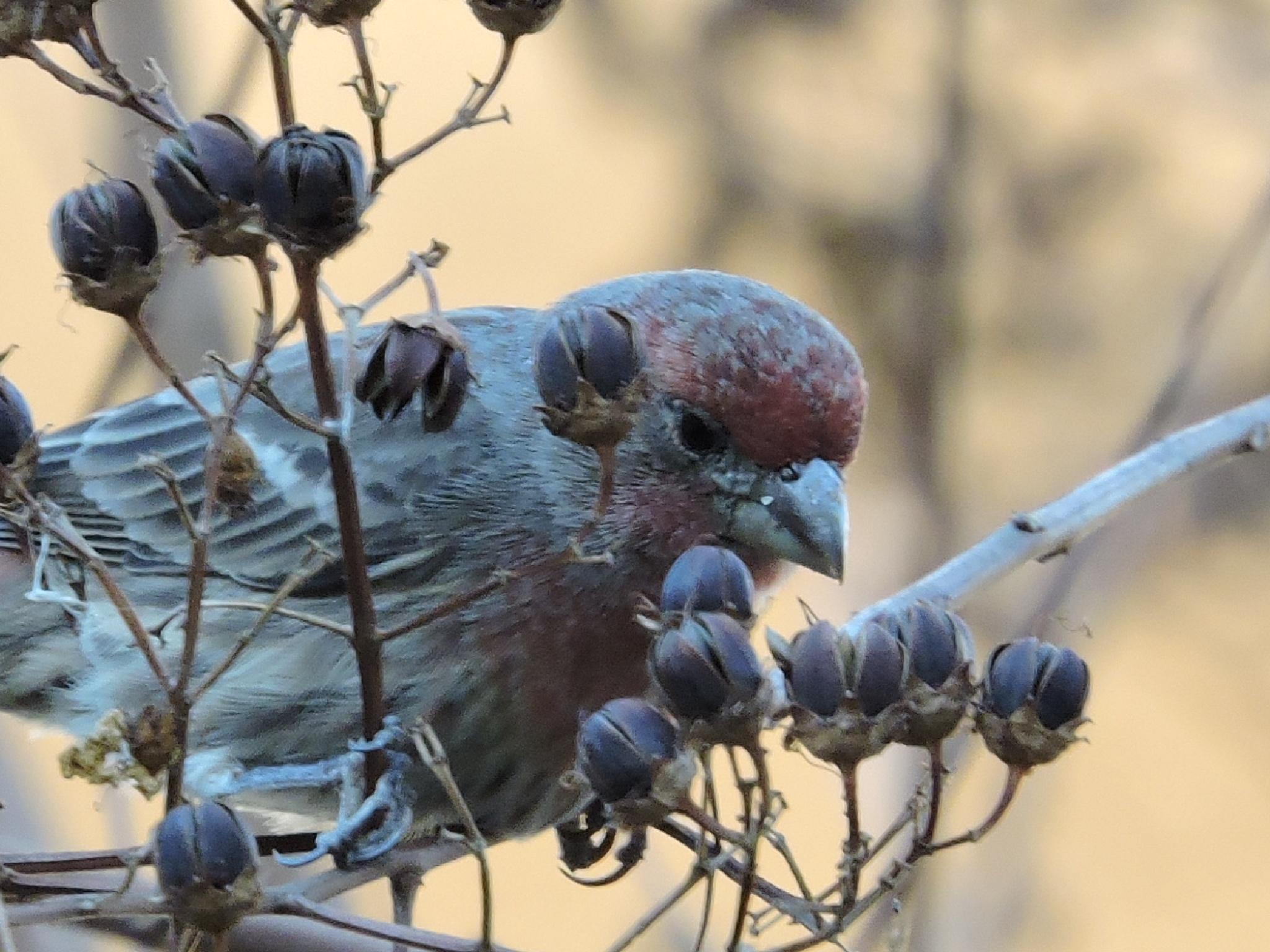 Mr. House Finch Likes a Seedy Neighborhood by ralph.s.carlson