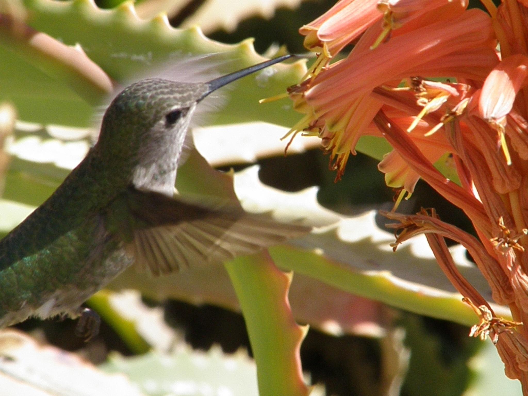 For Irina -- A Hummingbird Feeding From an Aloe Candle by ralph.s.carlson