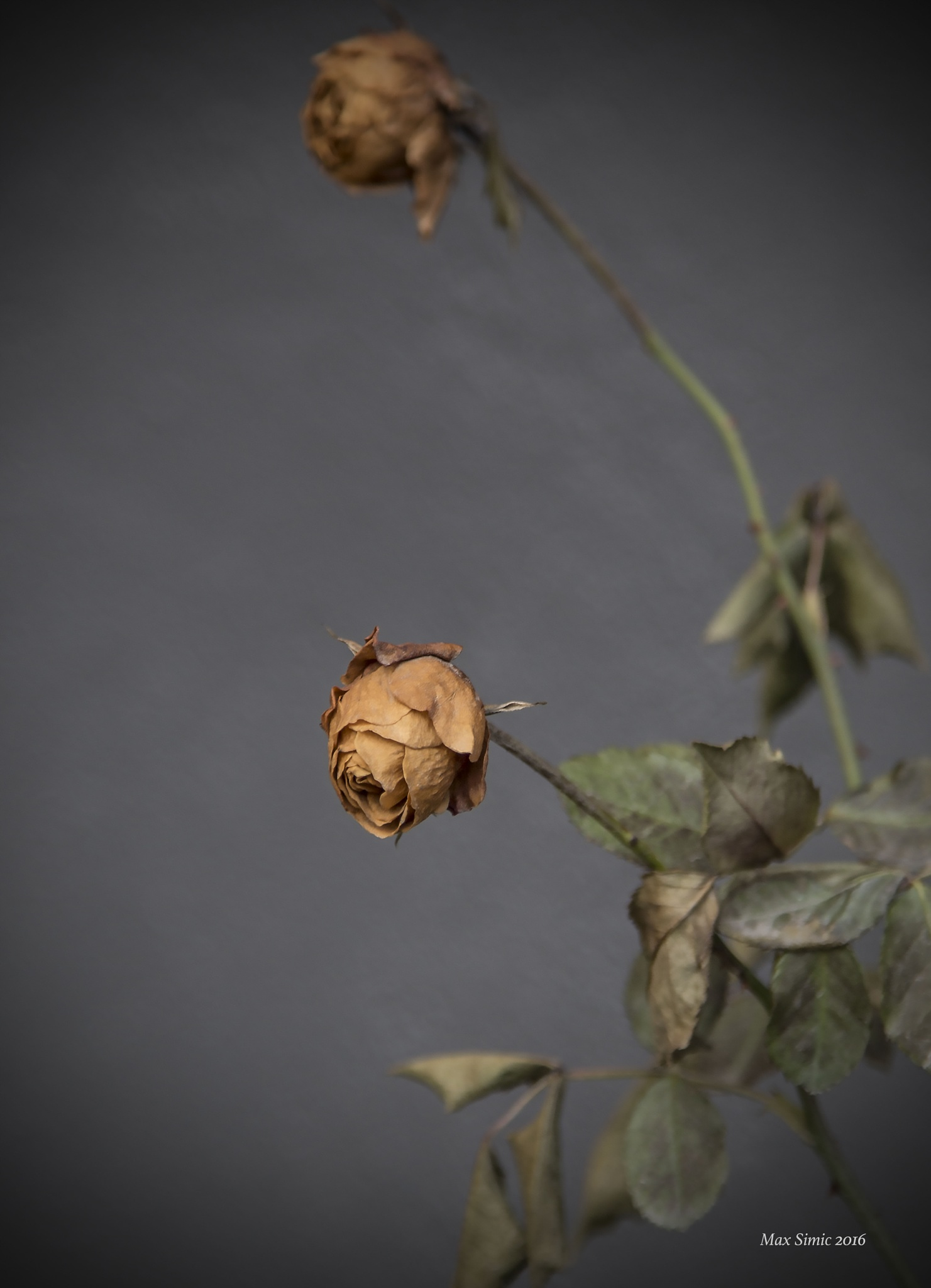 last years rose2 by MaxBSimic
