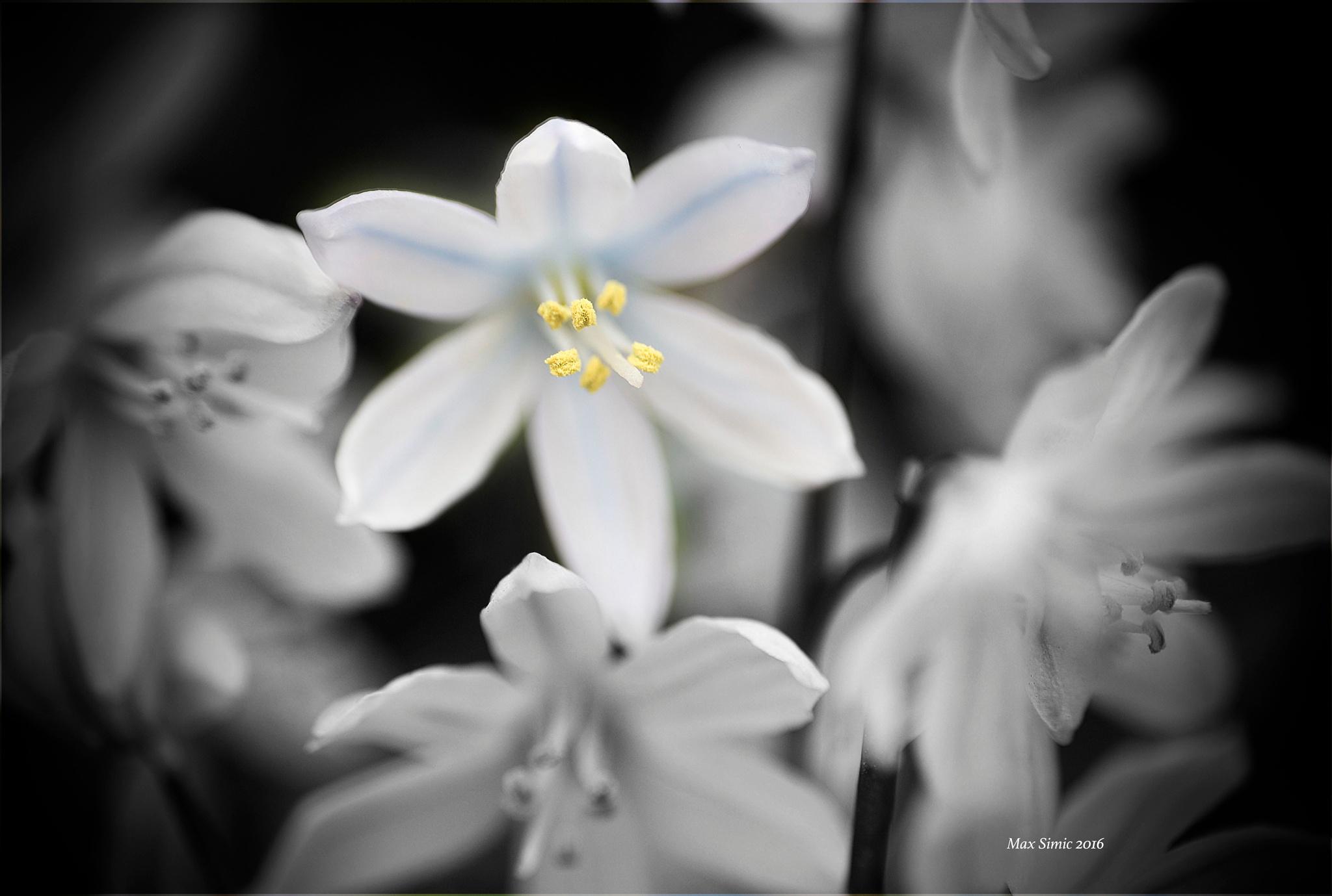 Scilla siberica alba by MaxBSimic