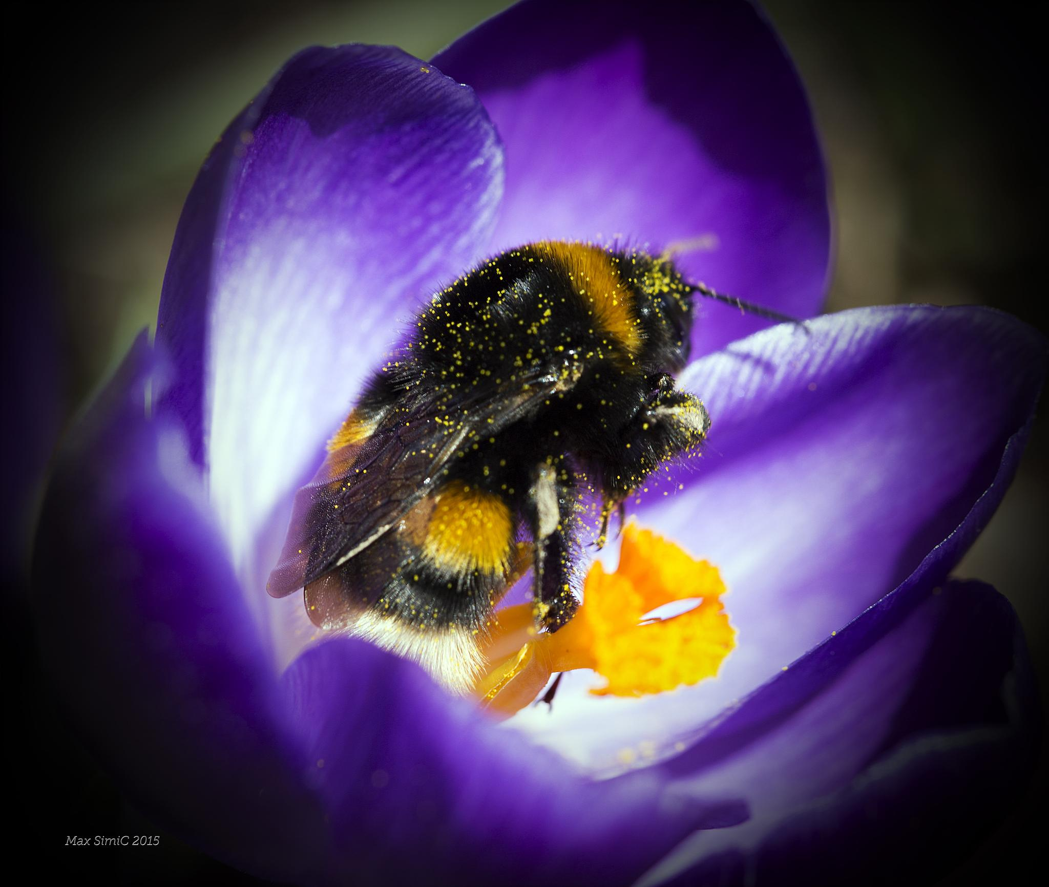The first bumblebee this year2 by MaxBSimic