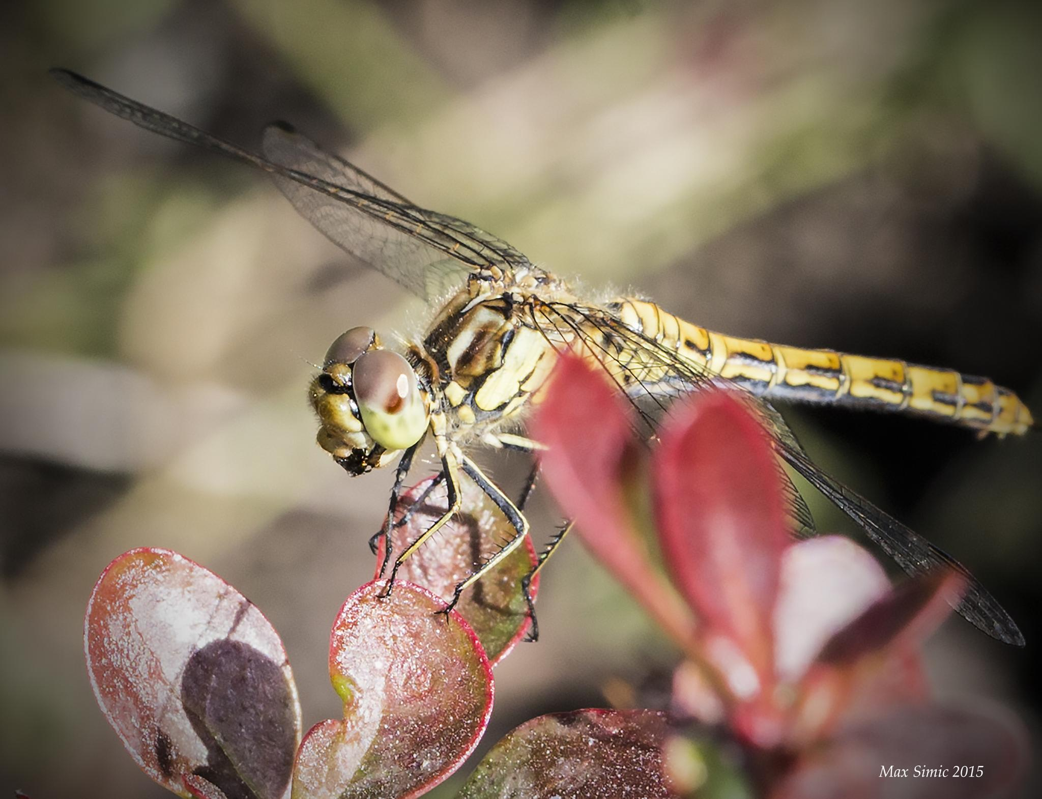 A dragonfly by MaxBSimic
