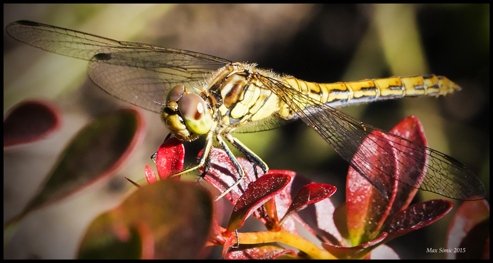 One more dragonfly by MaxBSimic