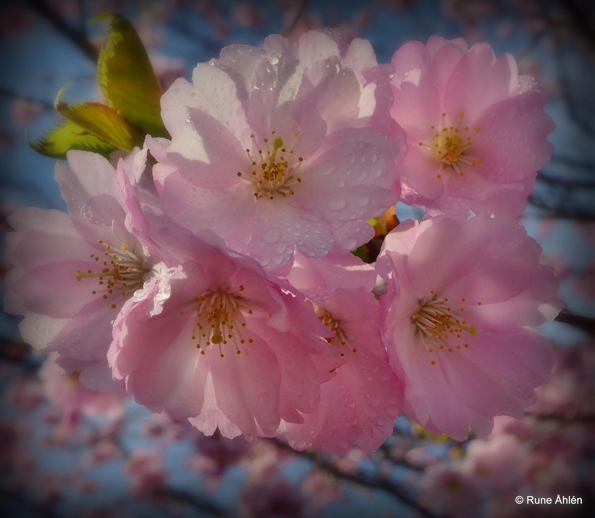 okänd blomma. by rune.ahlen.7