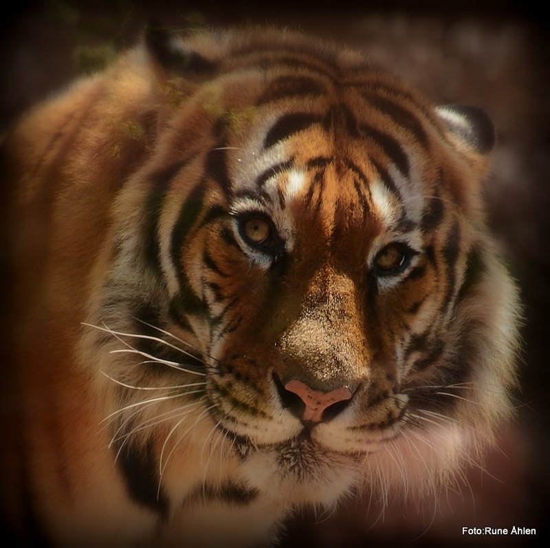Tiger from India. by rune.ahlen.7