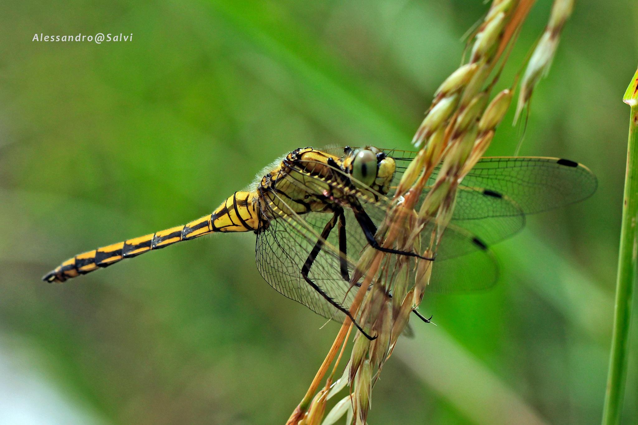 dragonfly 3 by Alessandro Salvi