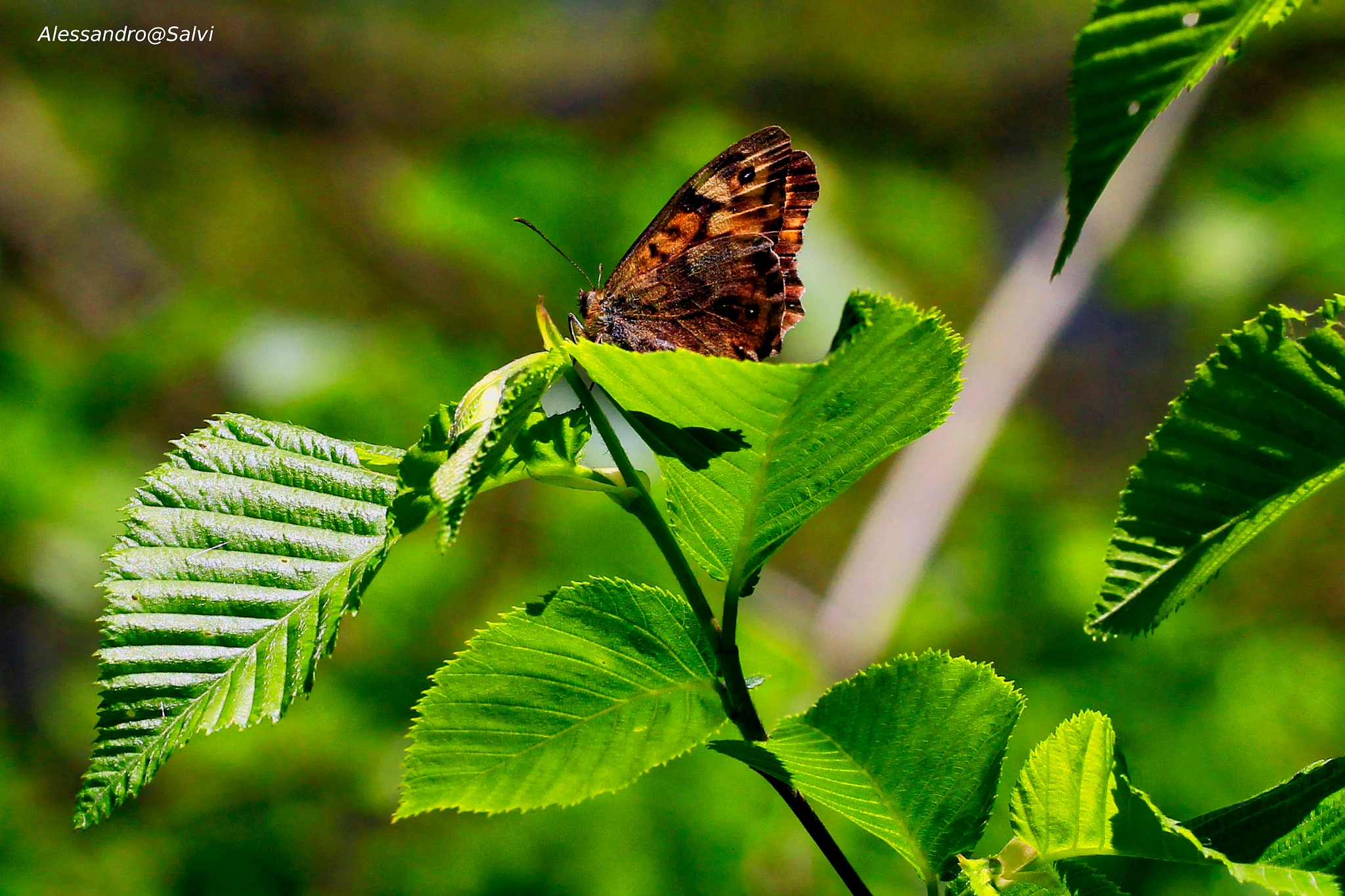 butterfly by Alessandro Salvi