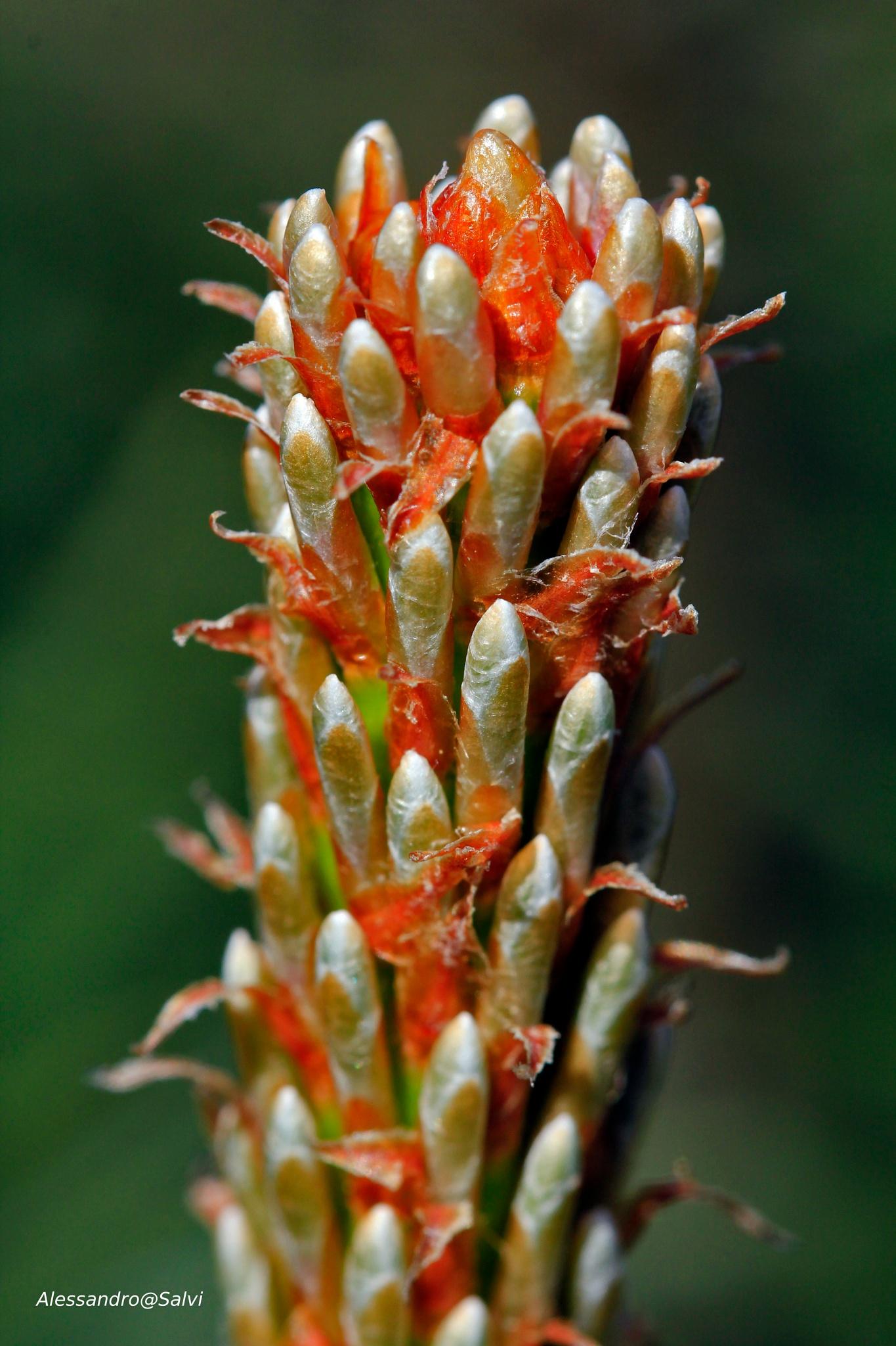 Photo in Nature #germoglio di pino #germoglio #pino