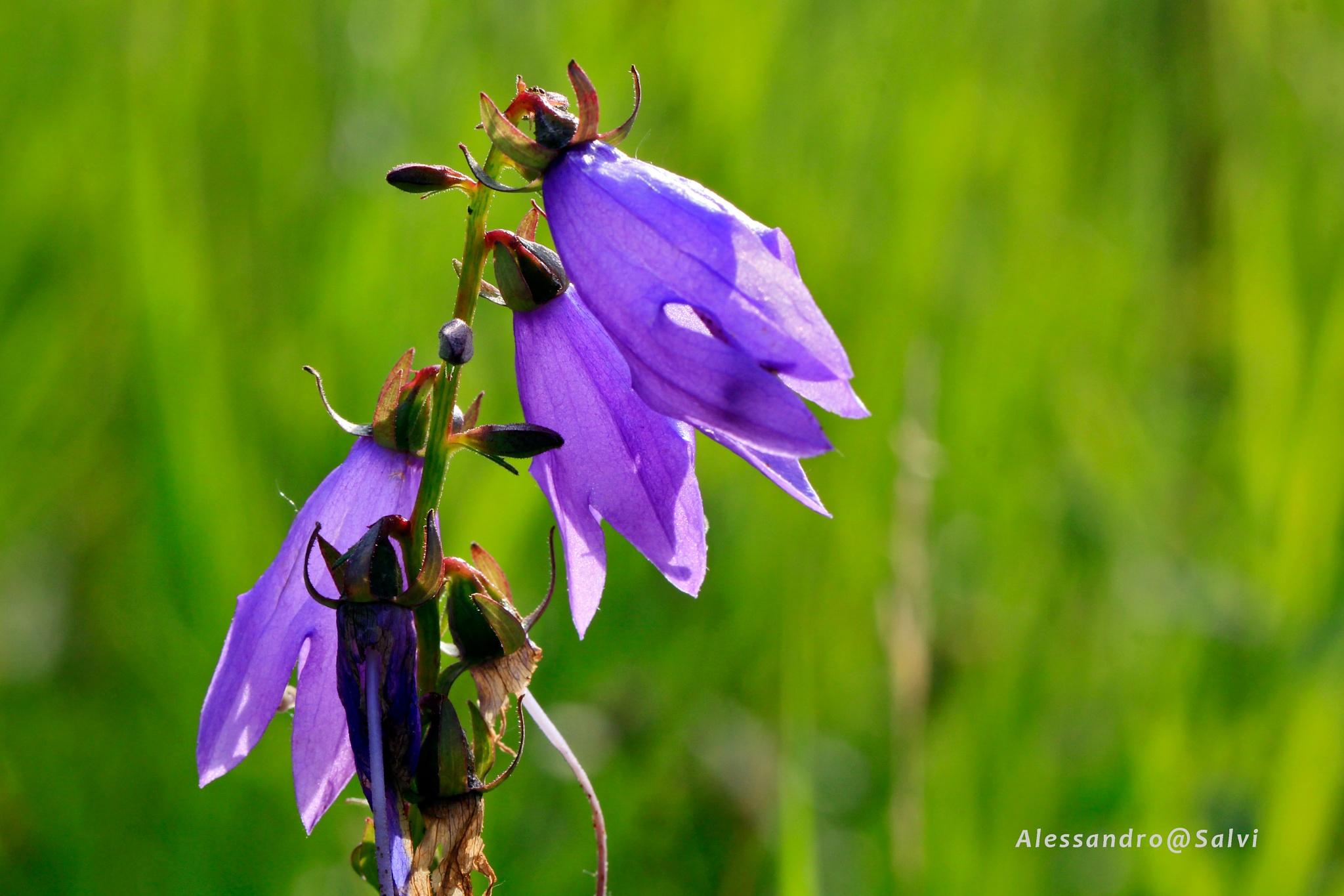 purple flowers by Alessandro Salvi