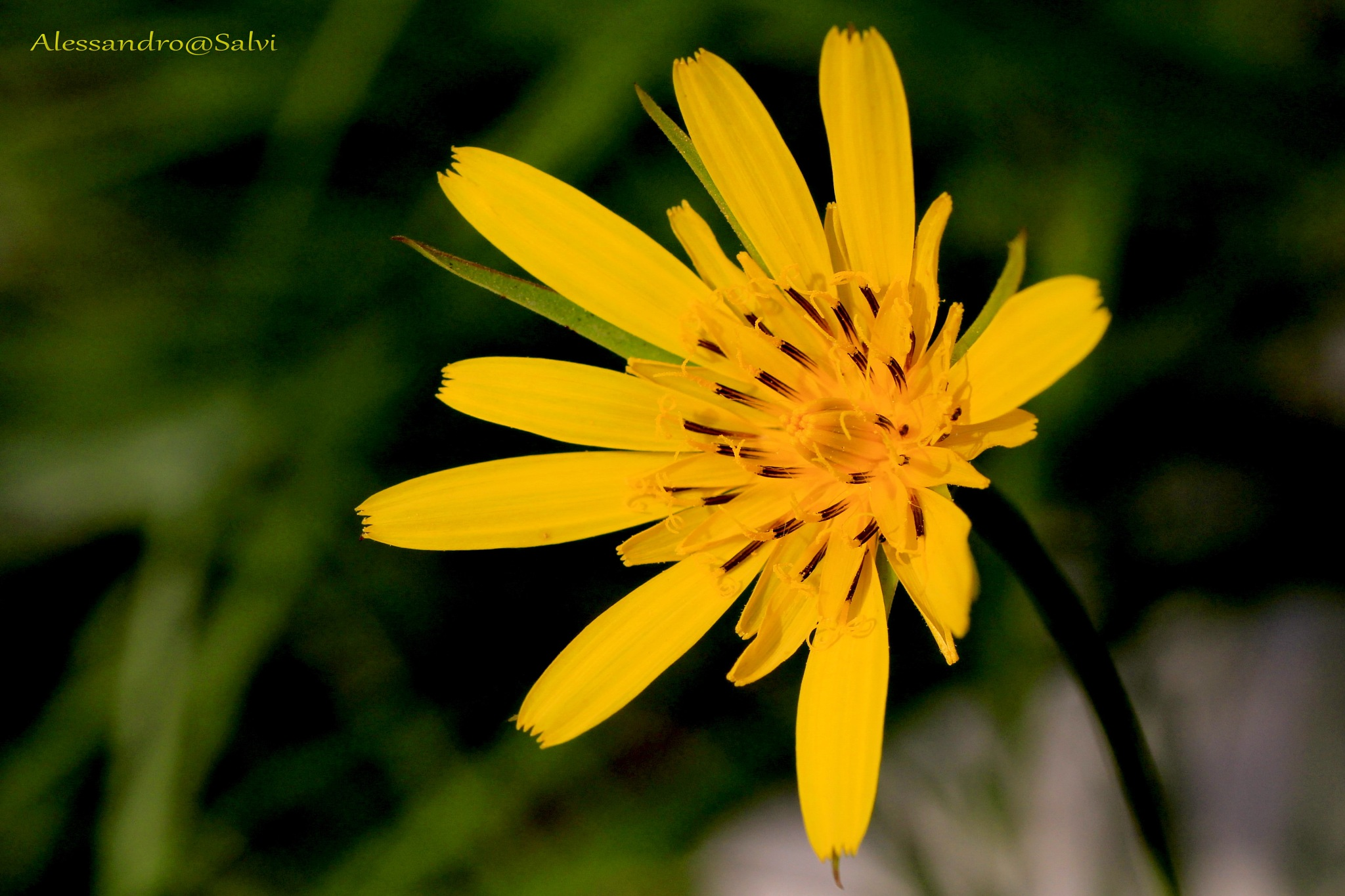 yellow by Alessandro Salvi