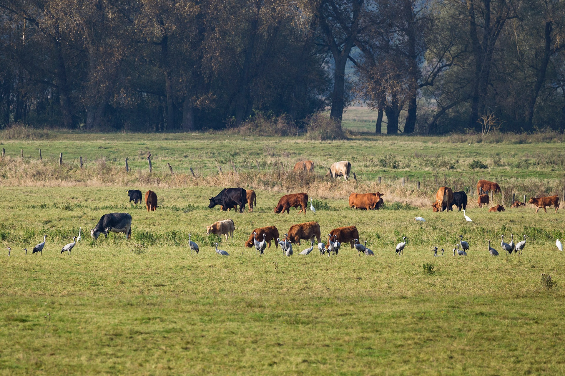 Cows and Cranes / Kühe und Kraniche by Maik Richter Photography