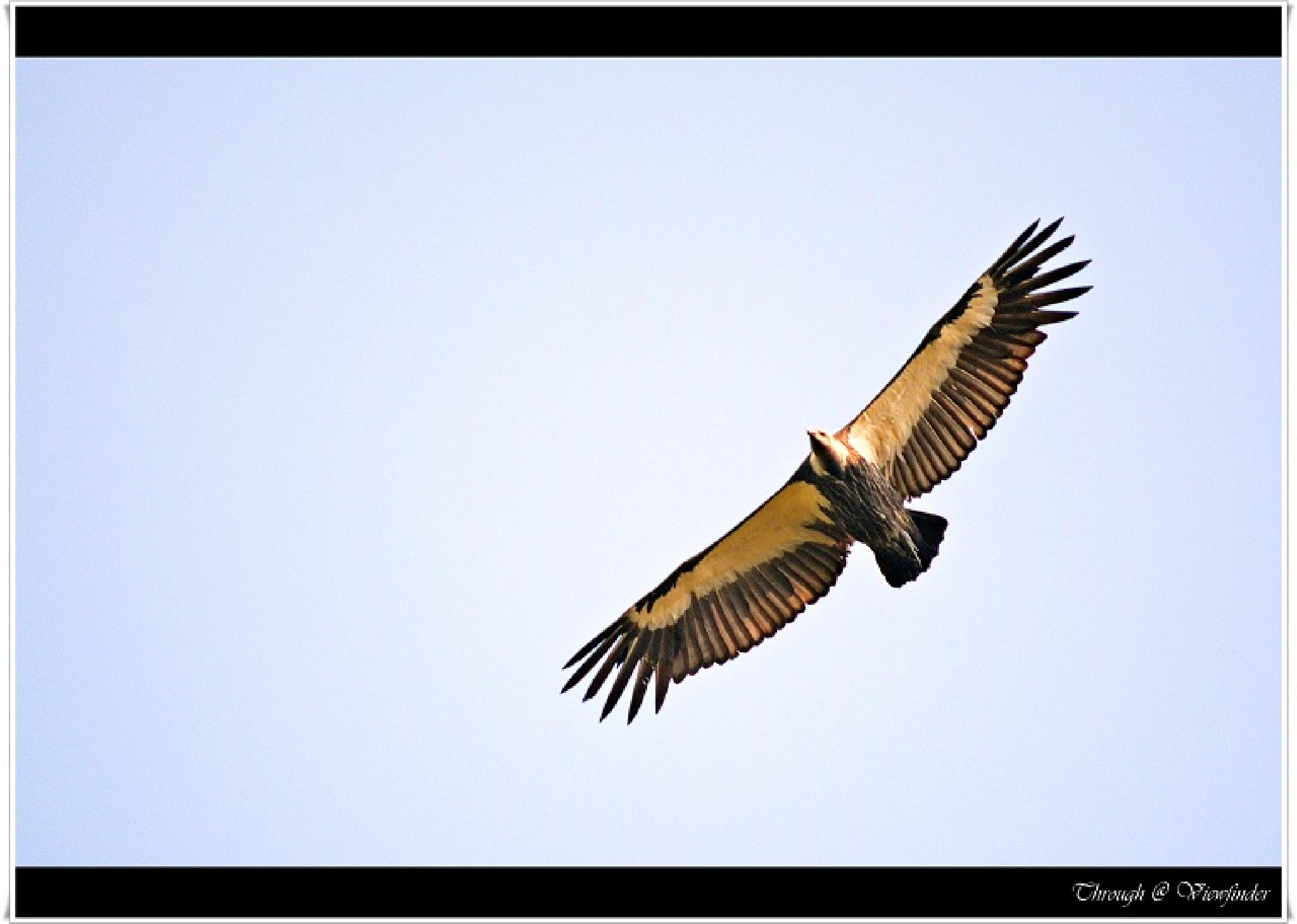 Vulture by prashobh.ailyam