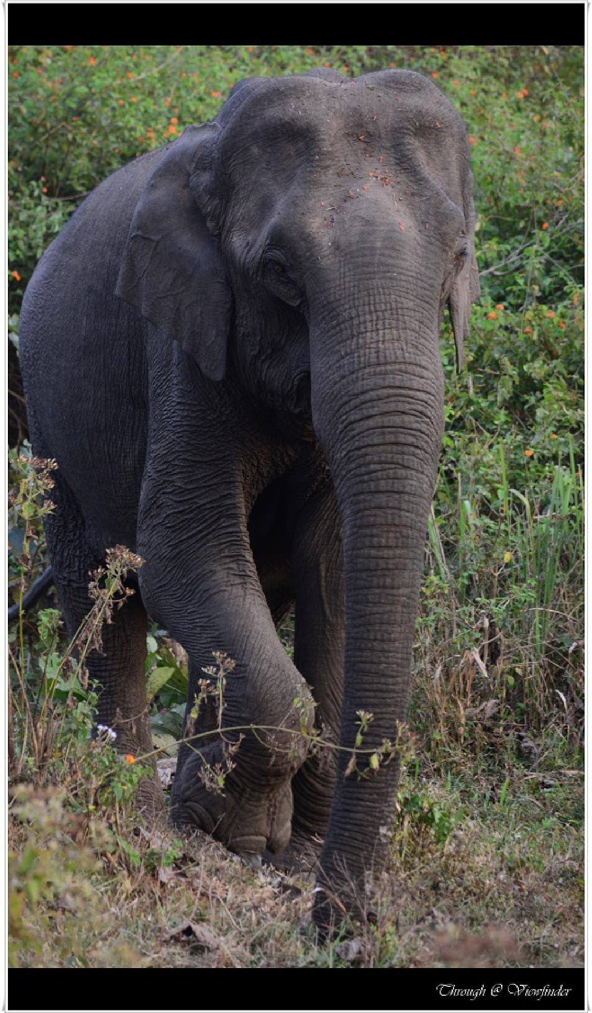 Wild Indian Elephant by prashobh.ailyam